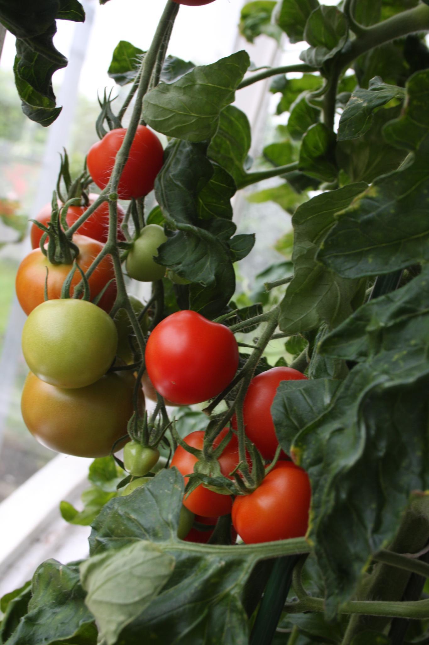 Home grown tomatoes by Amanda Gardner