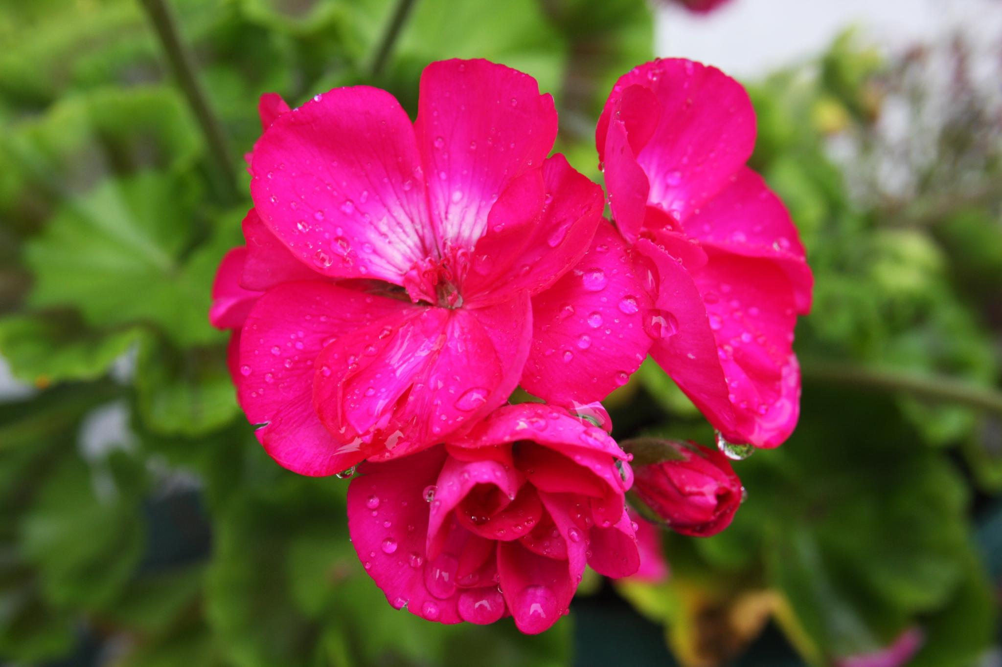Rain washed Geranium  by Amanda Gardner