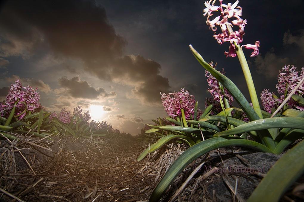Hyacinth by MarjaFafiani