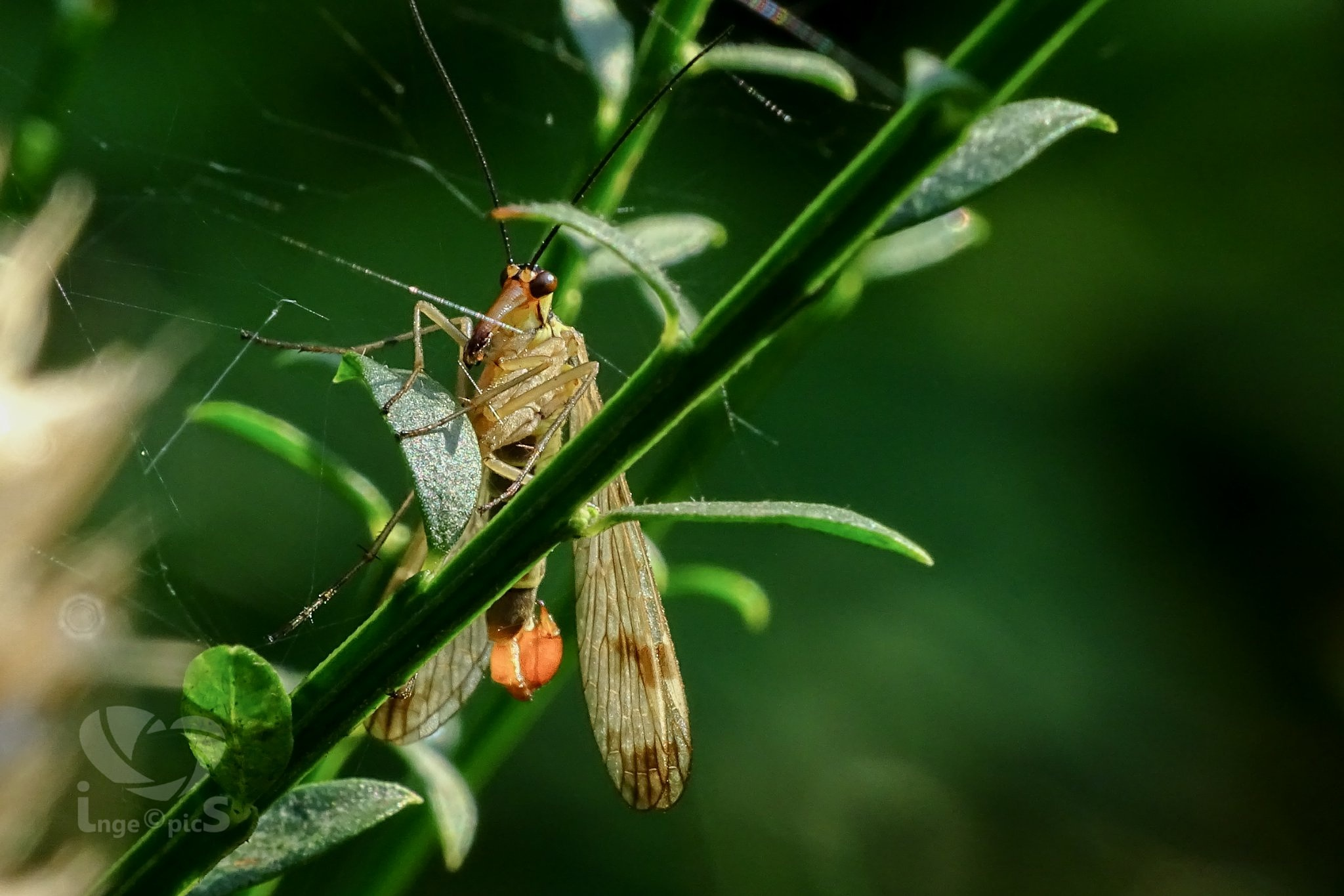 scorpionfly by IngePics