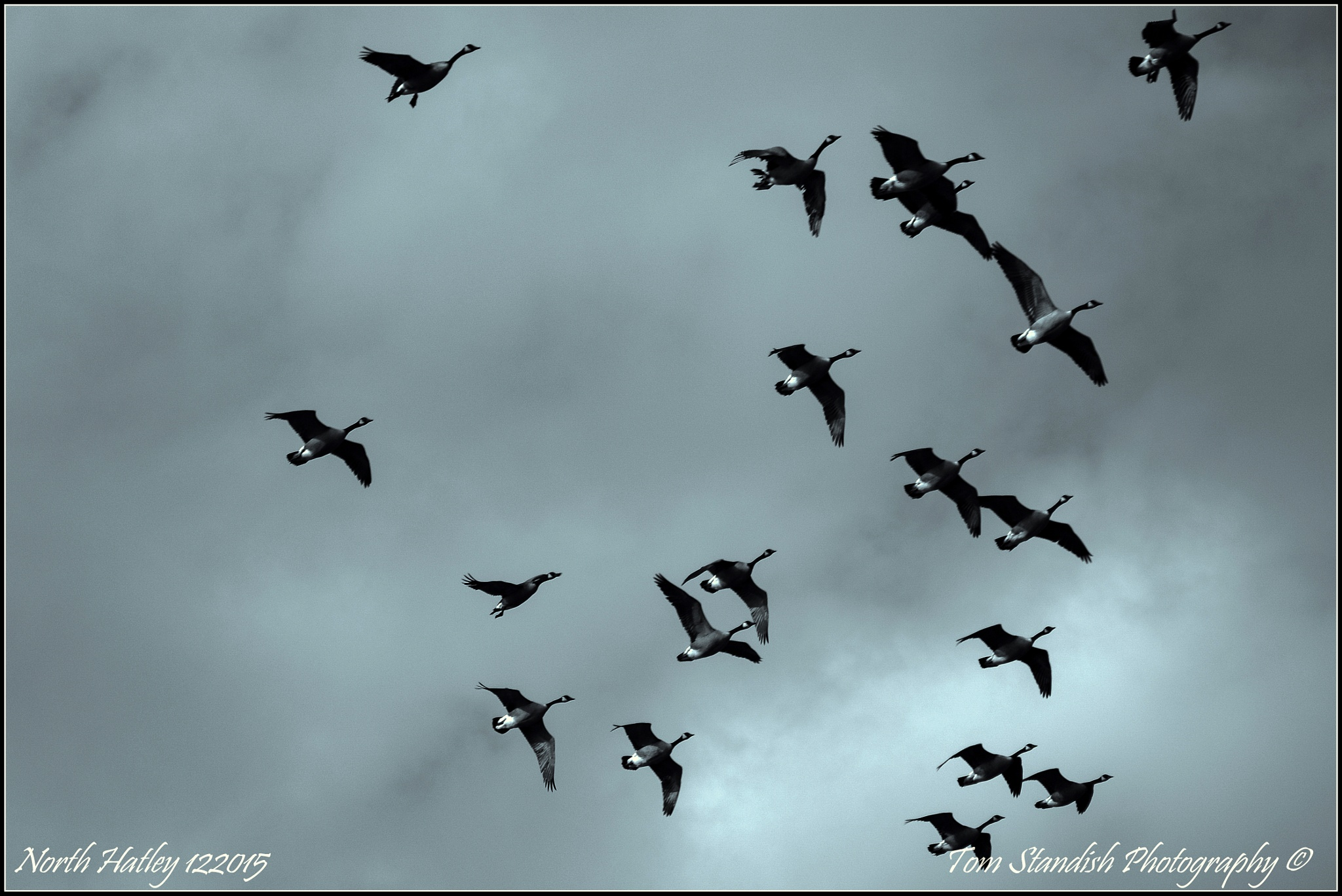 Overhead Geese  by Tom Standish