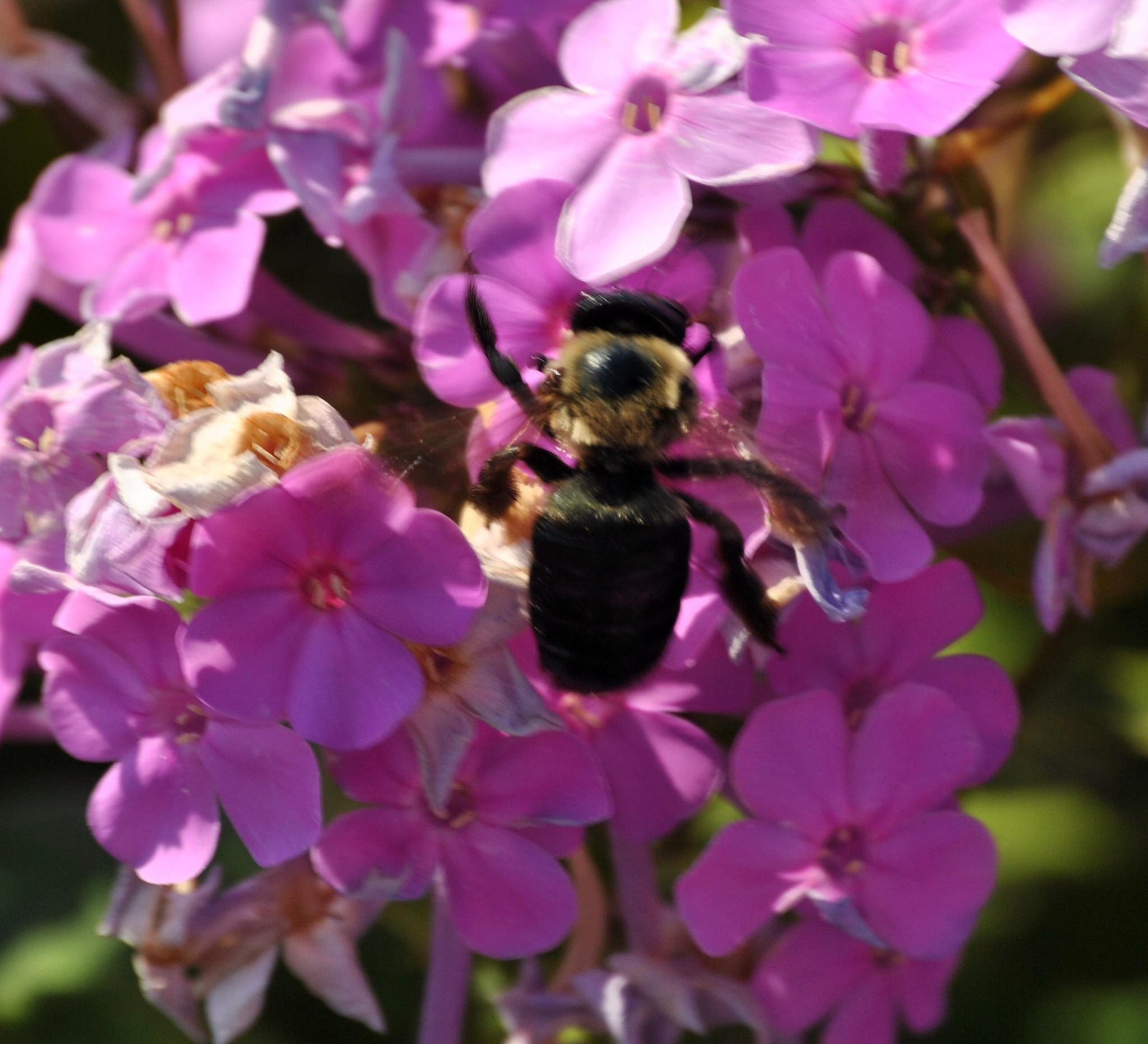 bee on phlox by Images by Gary Holyoke