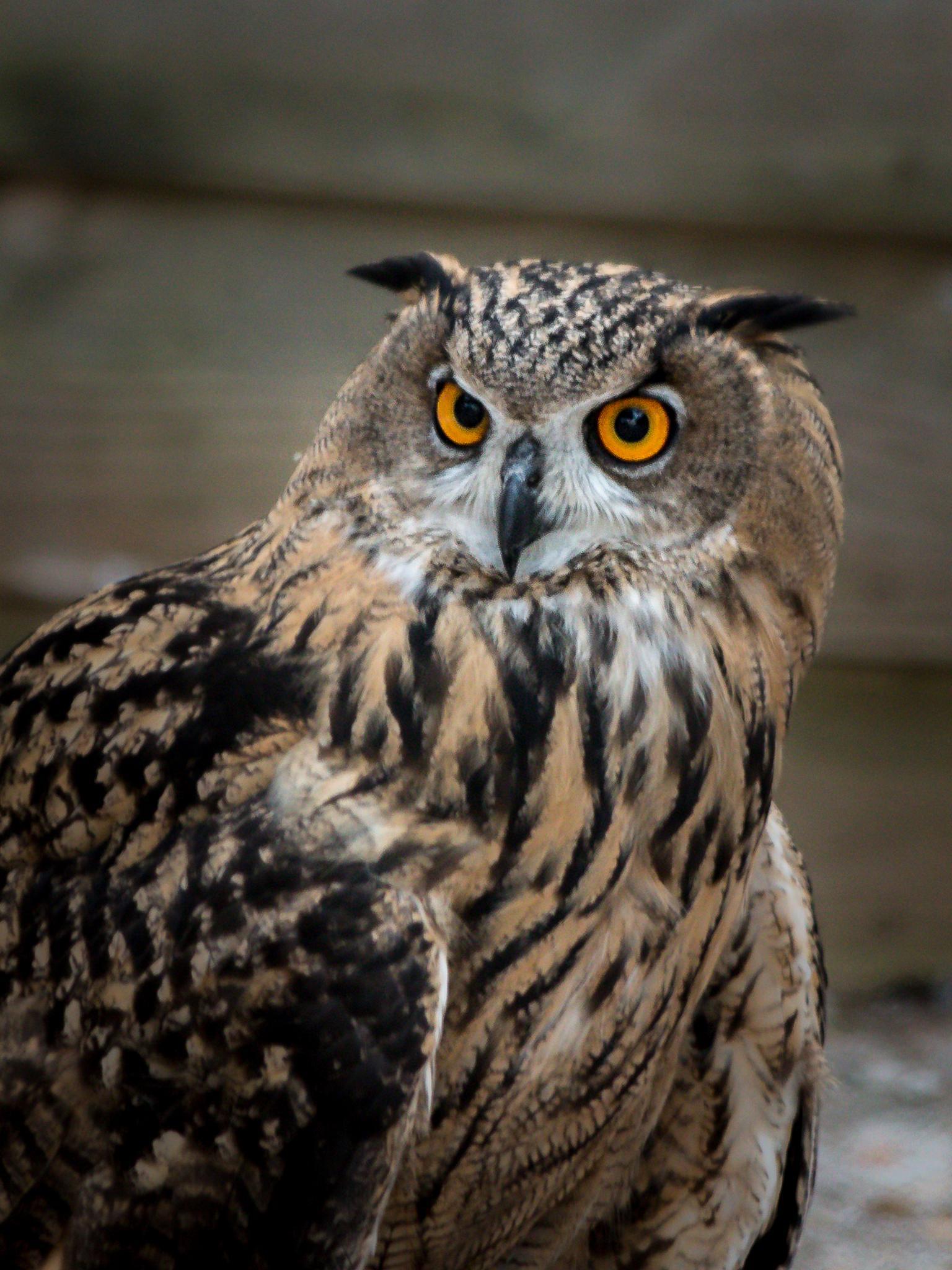 Great Horned Owl by stephenhops