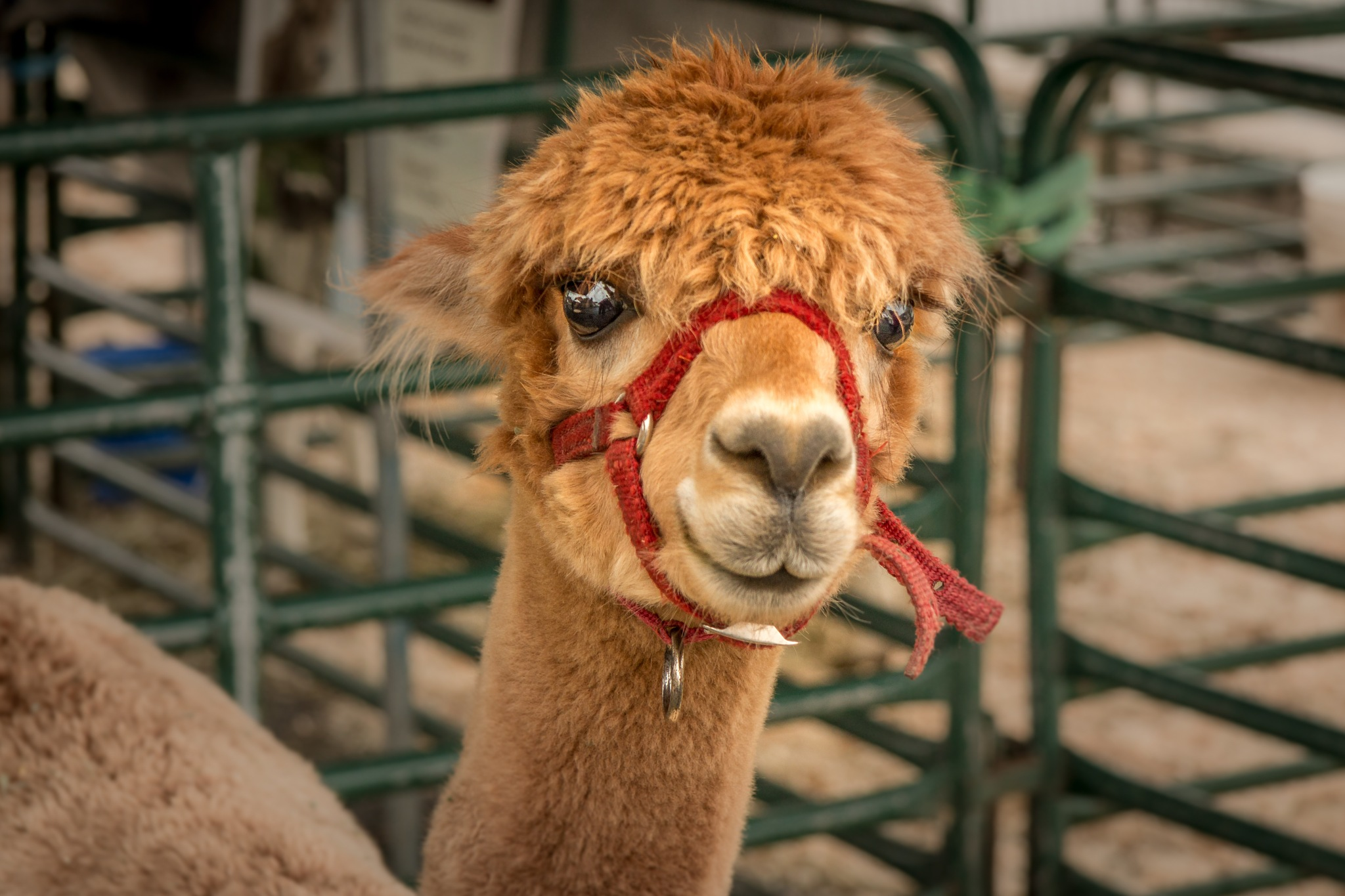 Pumpkinfest Alpaca by stephenhops
