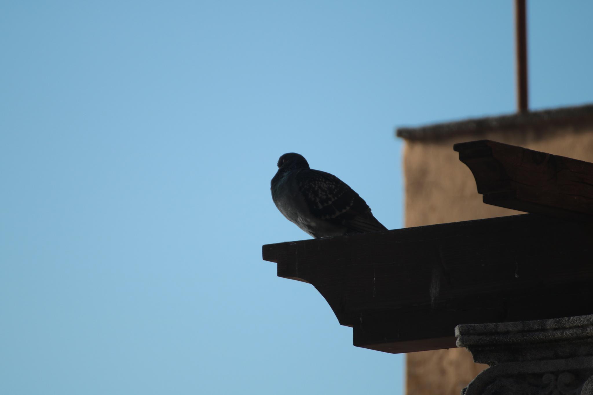 piccione by Fabio C.