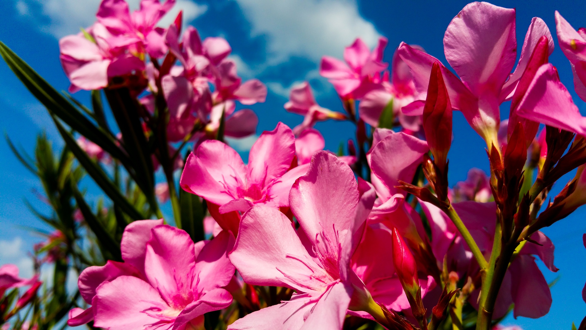 Oleander by Anthony Evans
