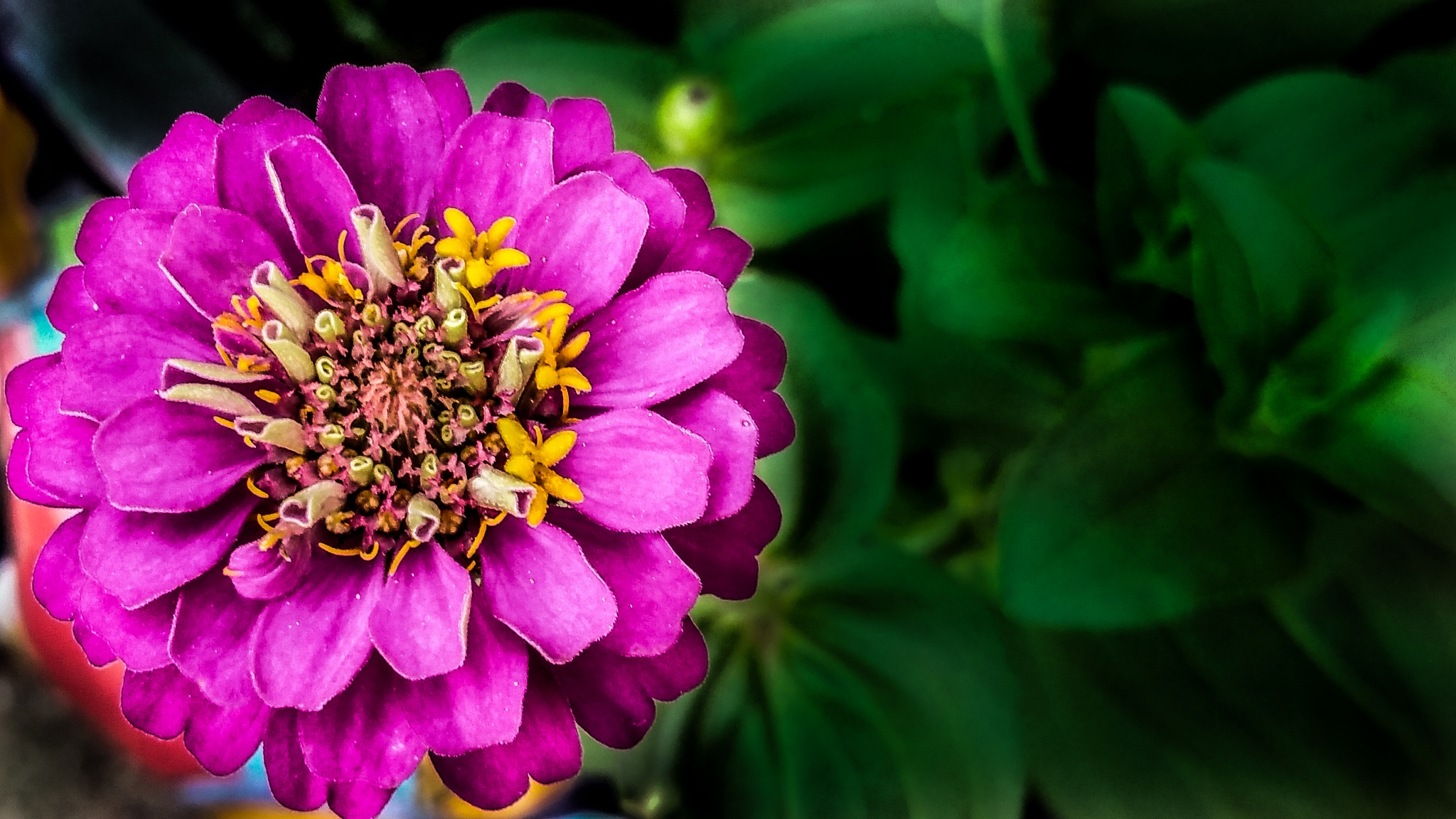 Zinnia by Anthony Evans
