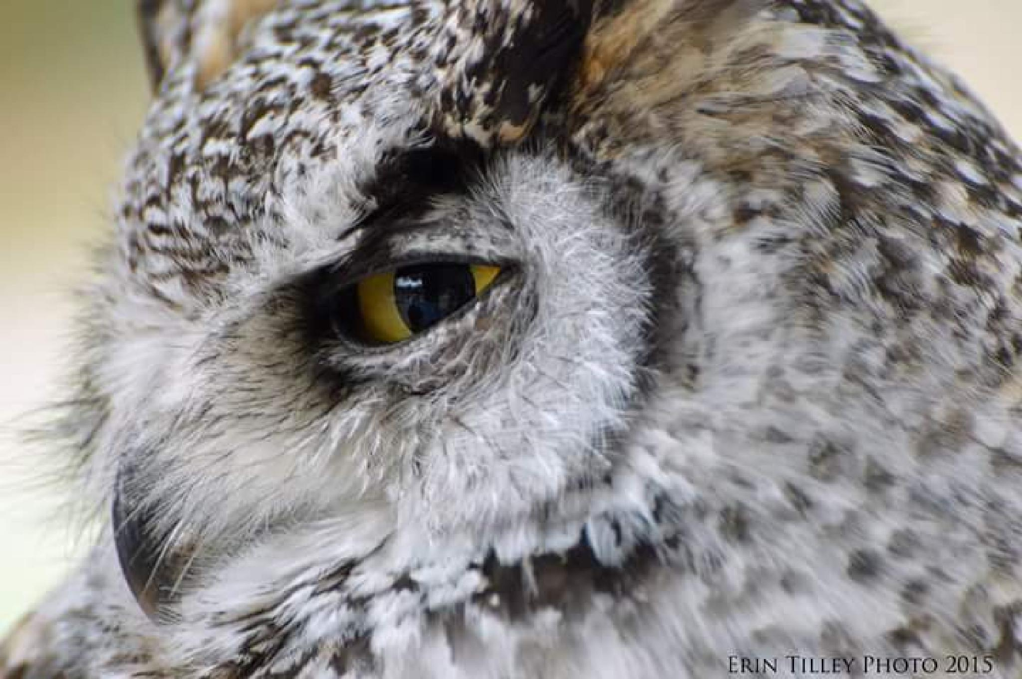 Great Horned Owl  by Erin Tilley Photography