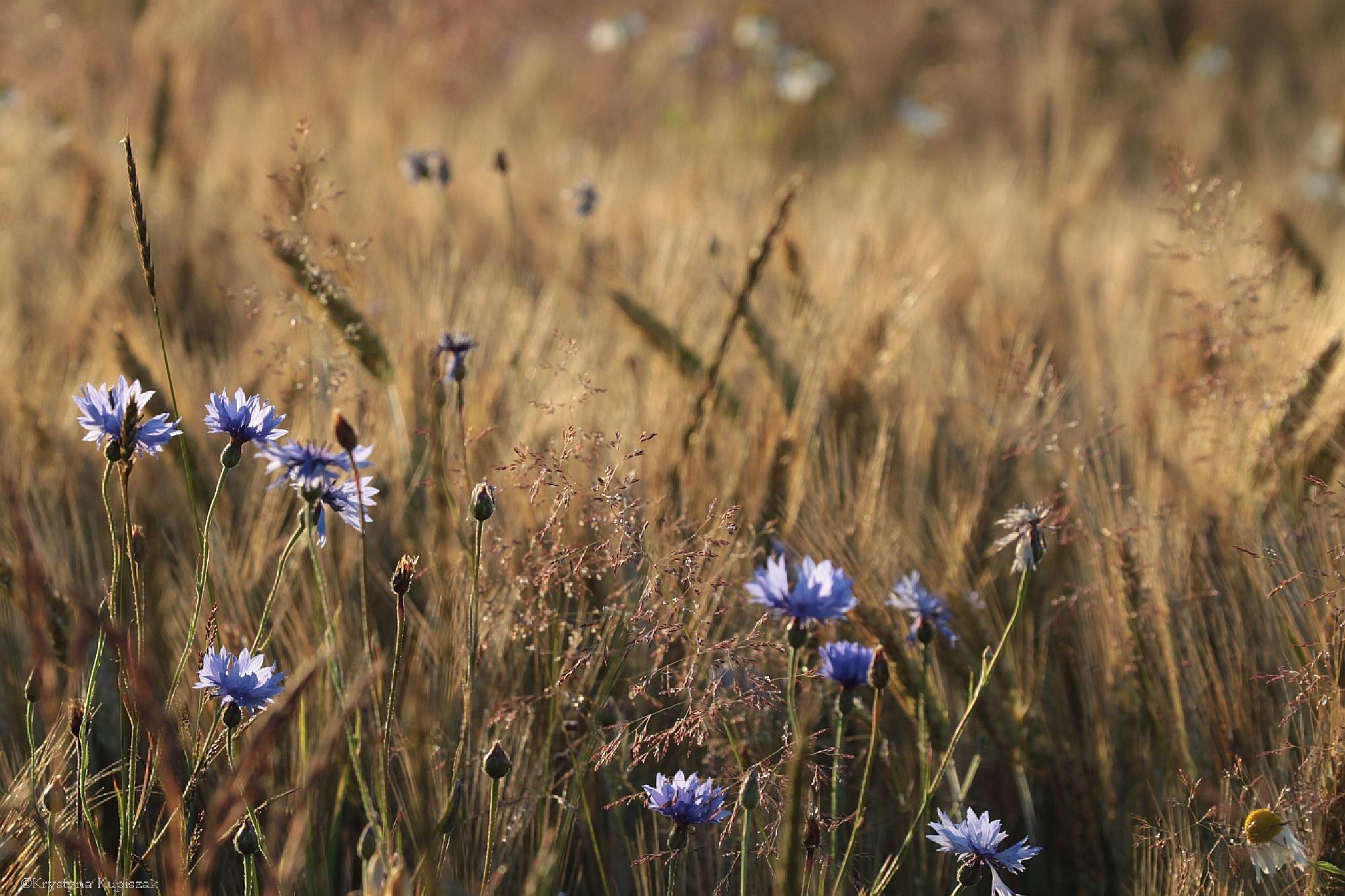 Summer fields by krystyna kupiszak