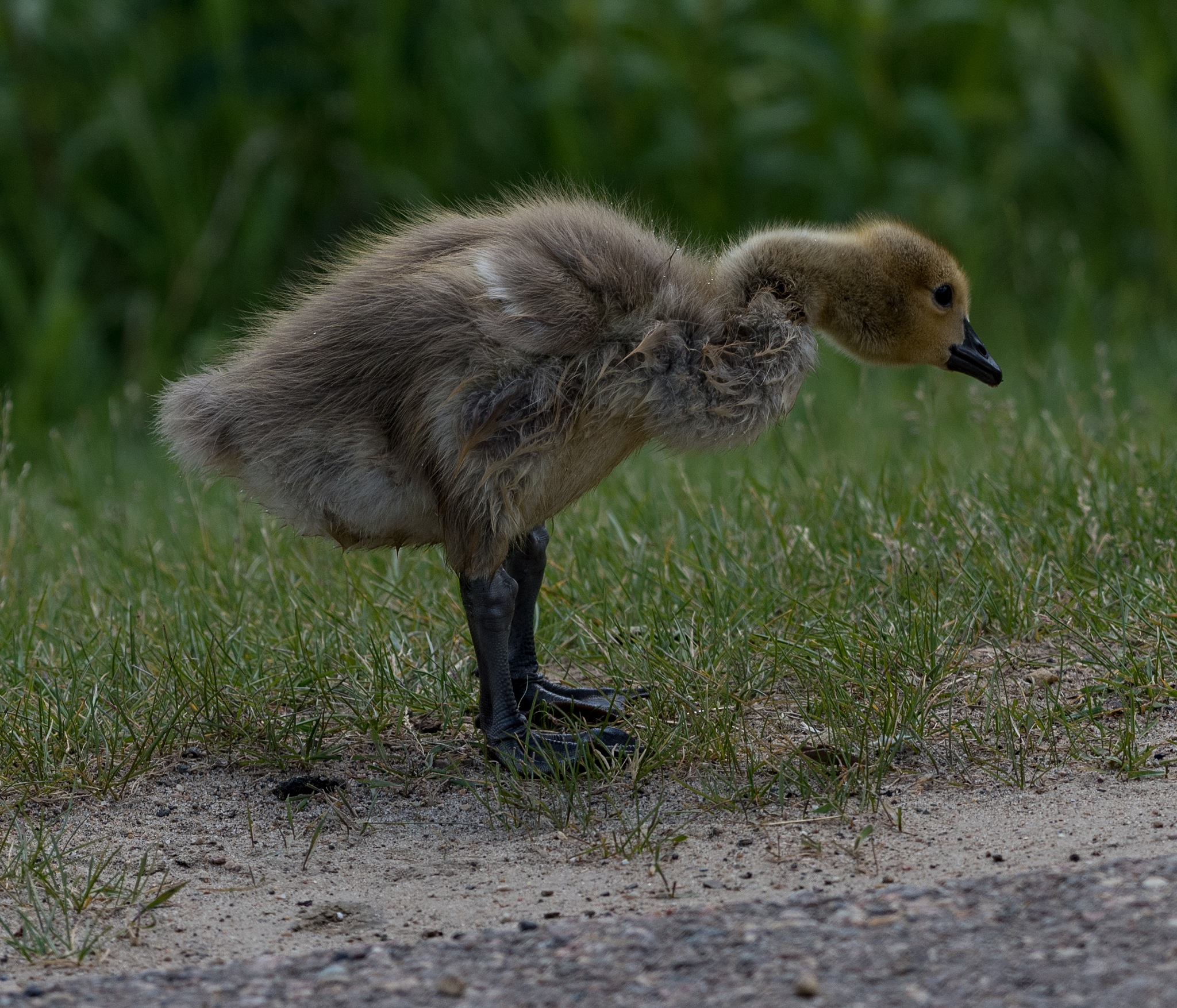 ANOTHER CANADA GOSLING by DrJohnHodgson