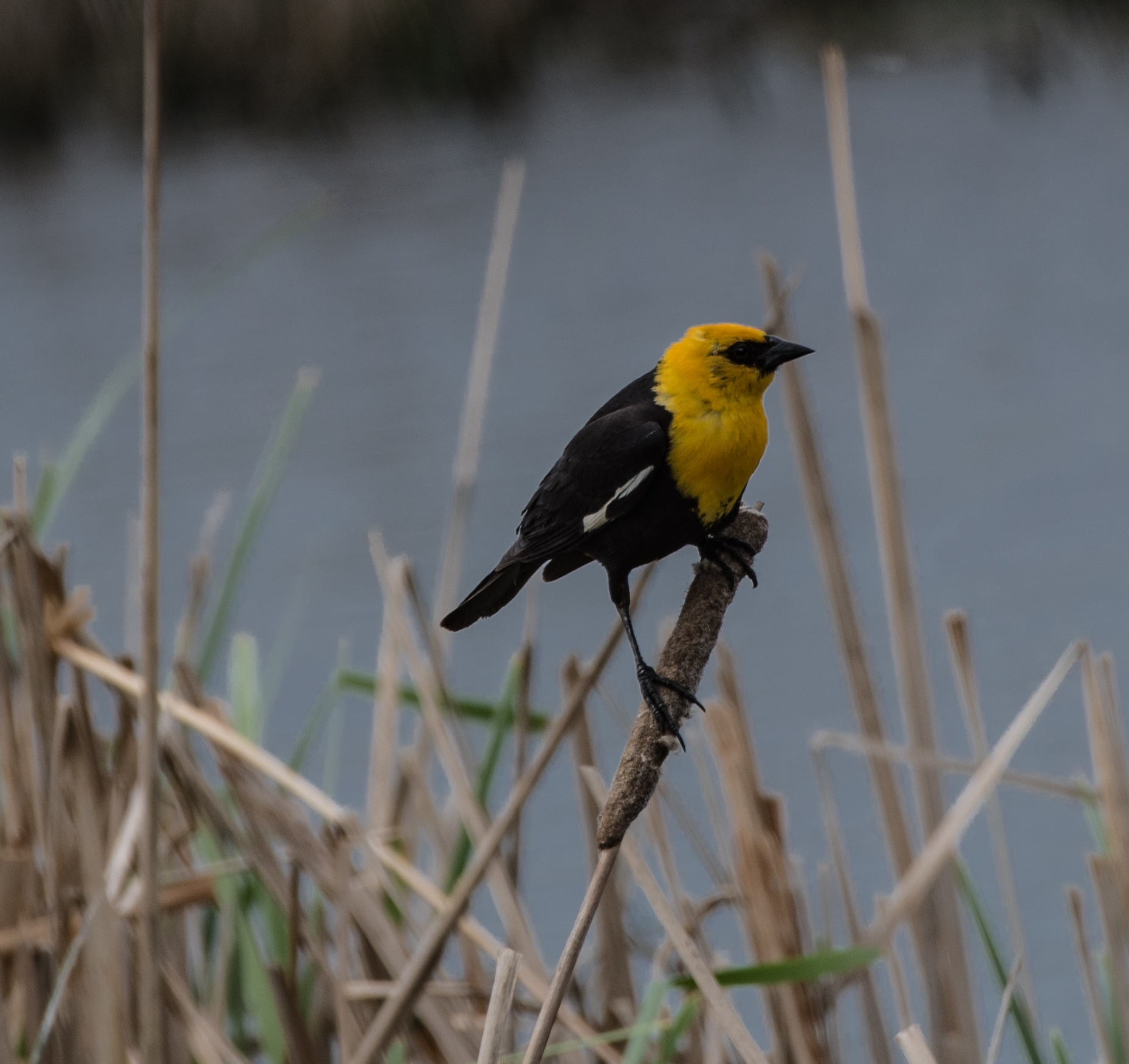 YELLOW-HEADED BLACKBIRD by DrJohnHodgson