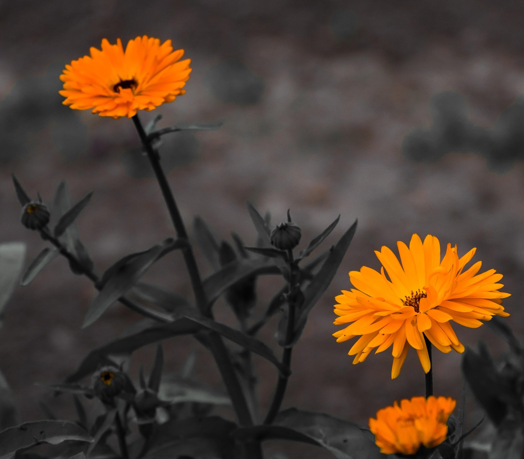 Flowers, orange by DrJohnHodgson