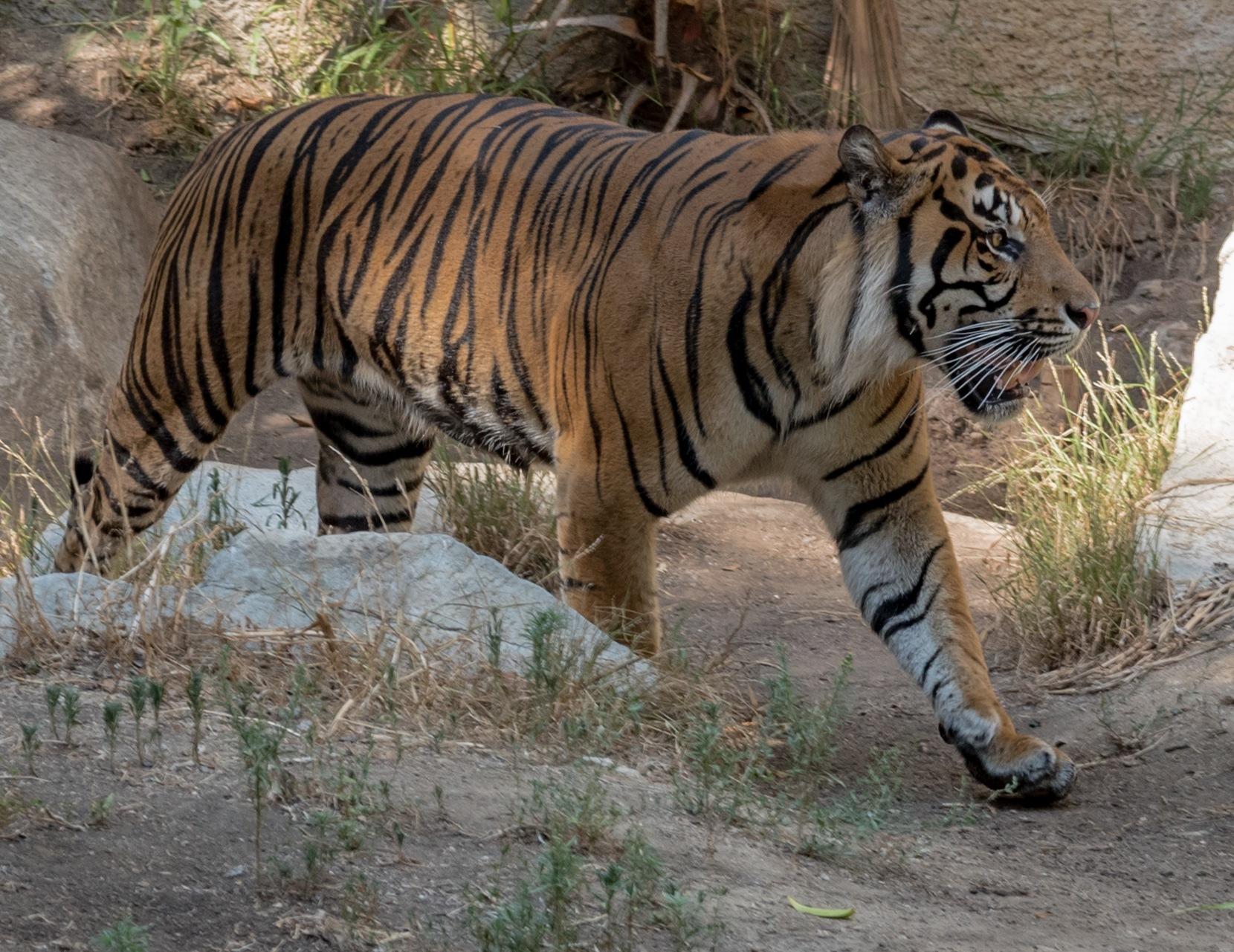 GO GET'M TIGER! by DrJohnHodgson