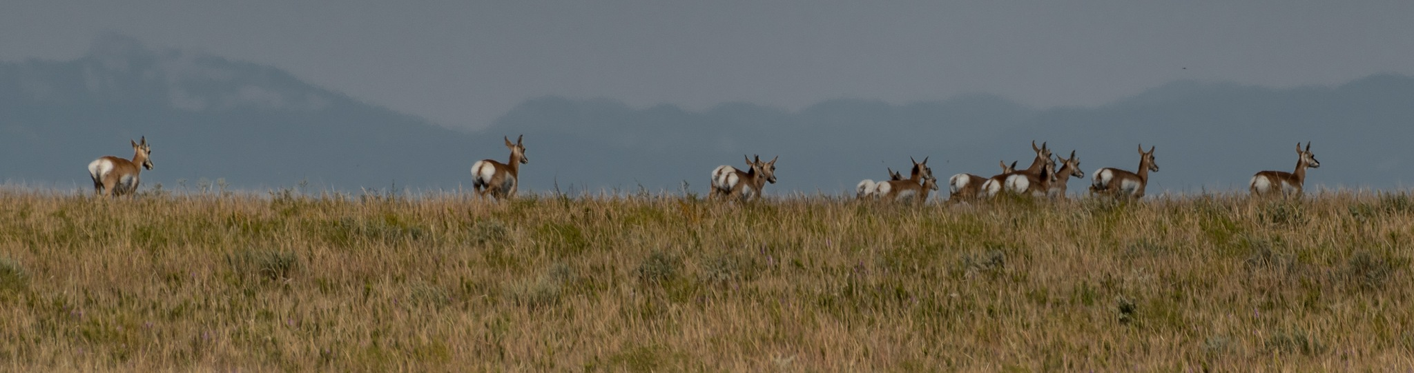 PRONGHORNED ANTELOPES IN RETREAT by DrJohnHodgson