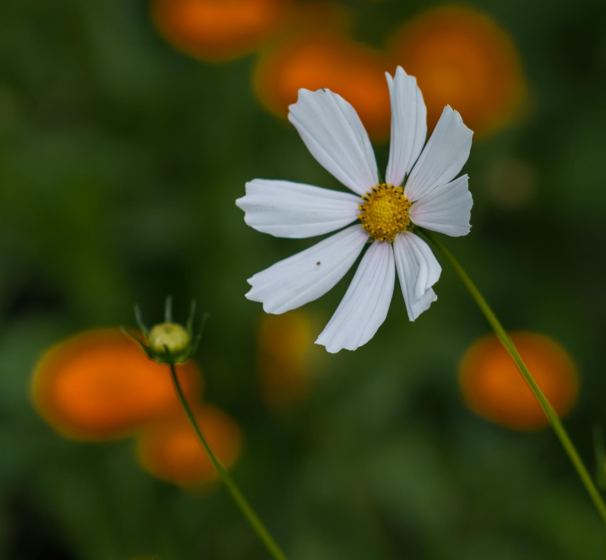 Daisy by DrJohnHodgson