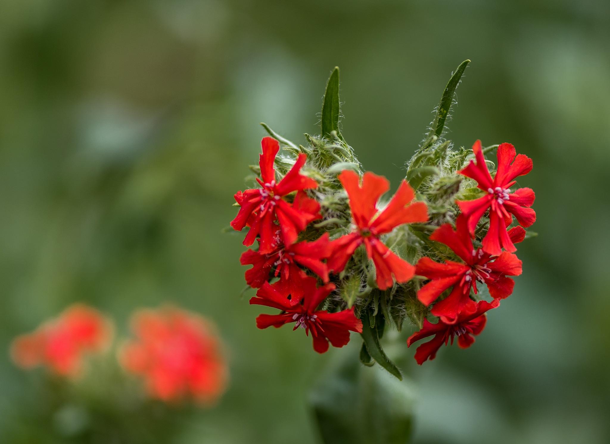 BARB'S GARDEN: RED FLOWERS by DrJohnHodgson