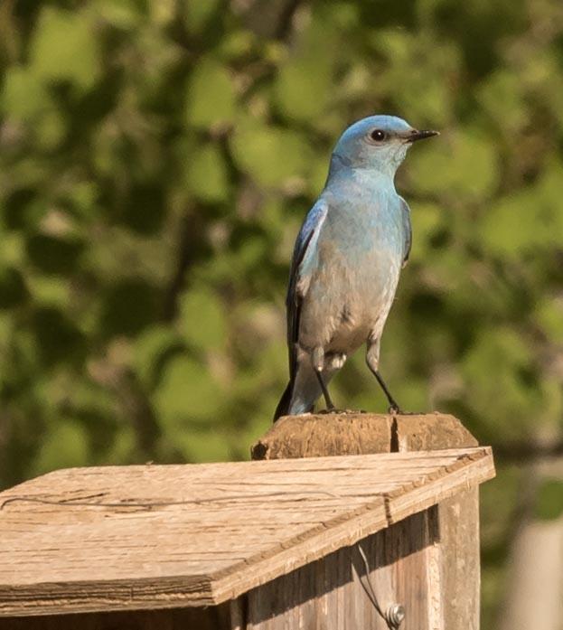 Bluebird by DrJohnHodgson