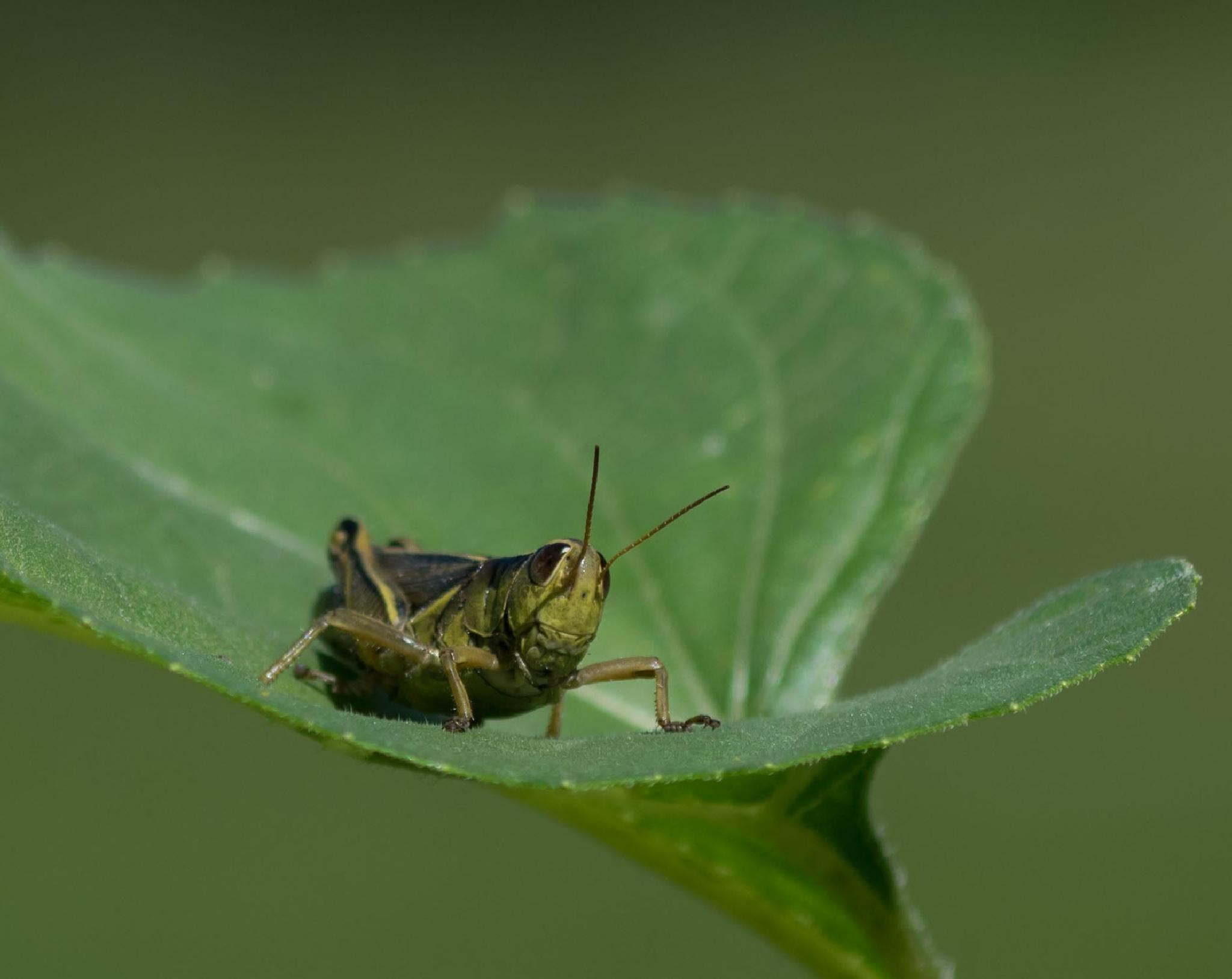 Plague of Locusts by DrJohnHodgson