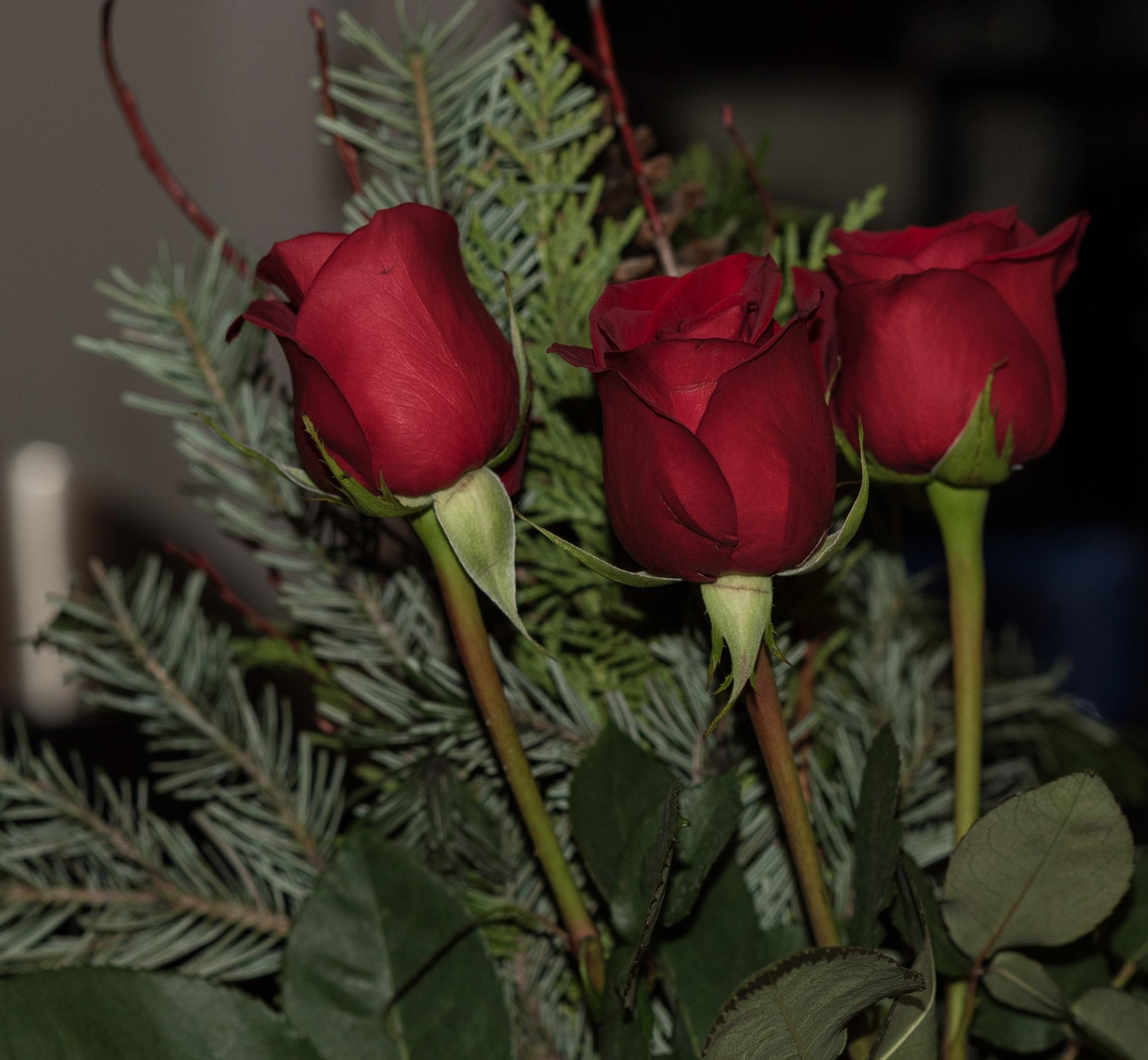 ROSES by DrJohnHodgson