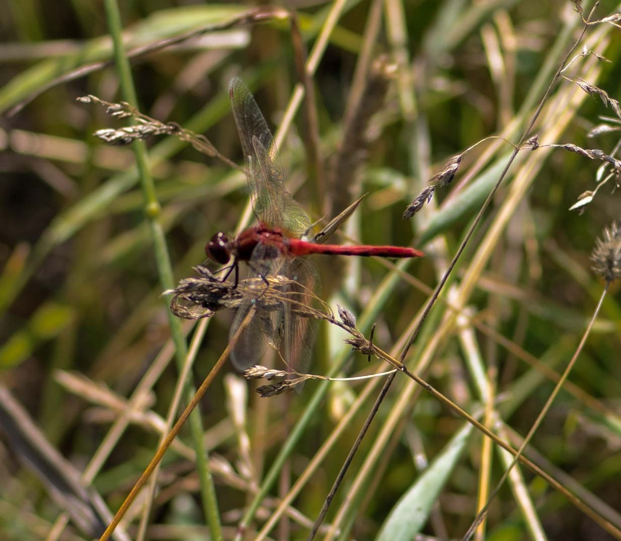 RED DRAGONFLY by DrJohnHodgson