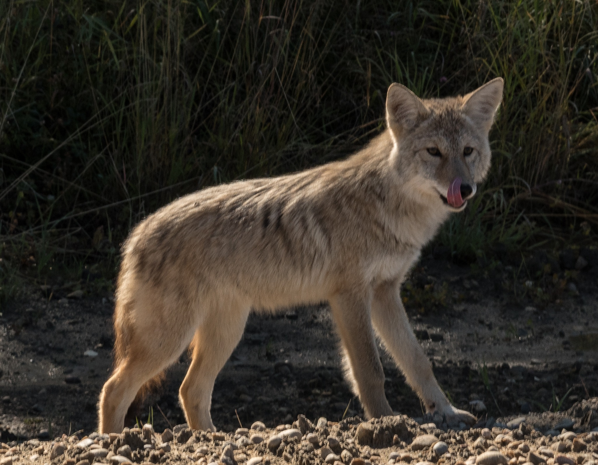 COYOTE III: Wonder if he is good to eat by DrJohnHodgson