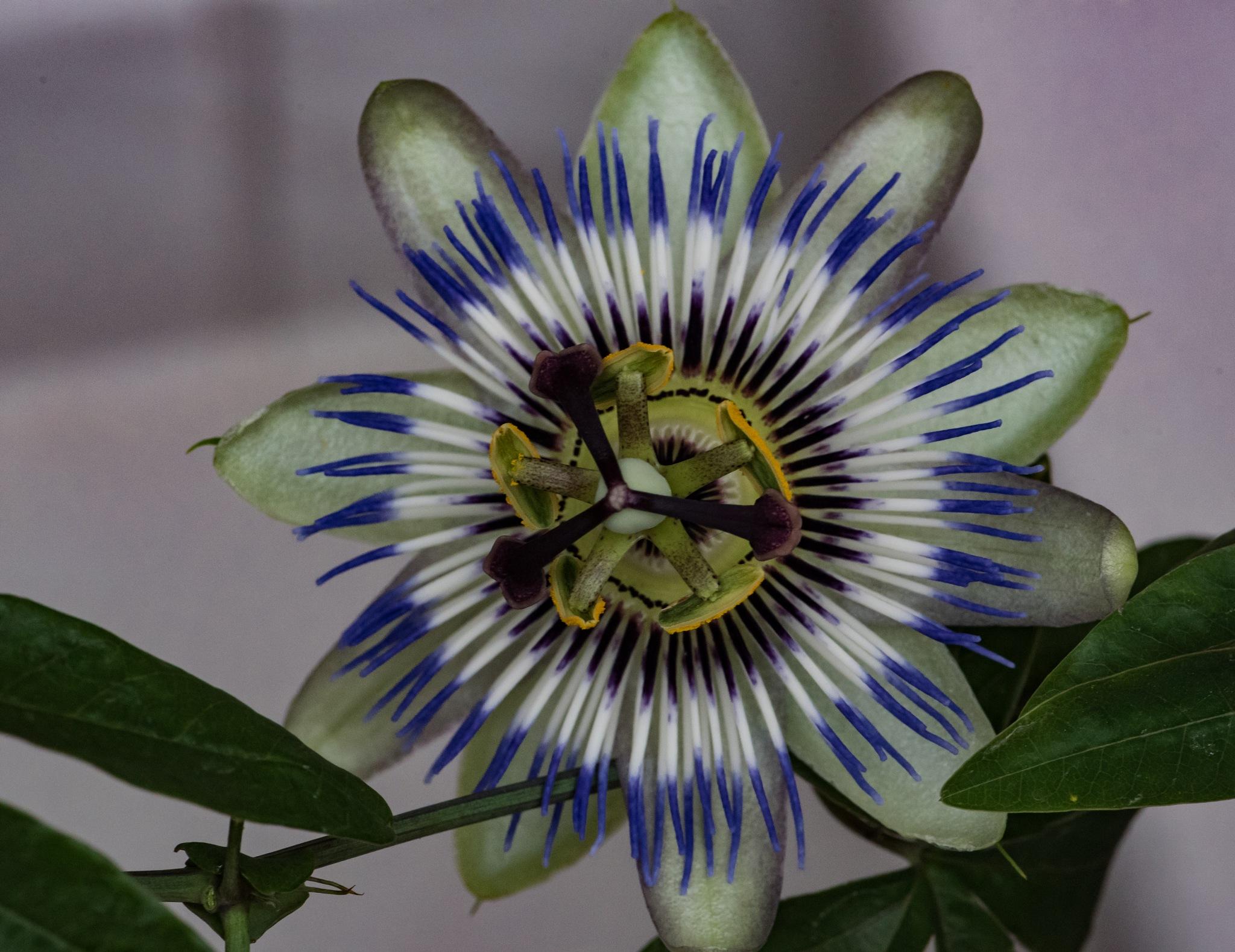 PASSION FLOWER II by DrJohnHodgson