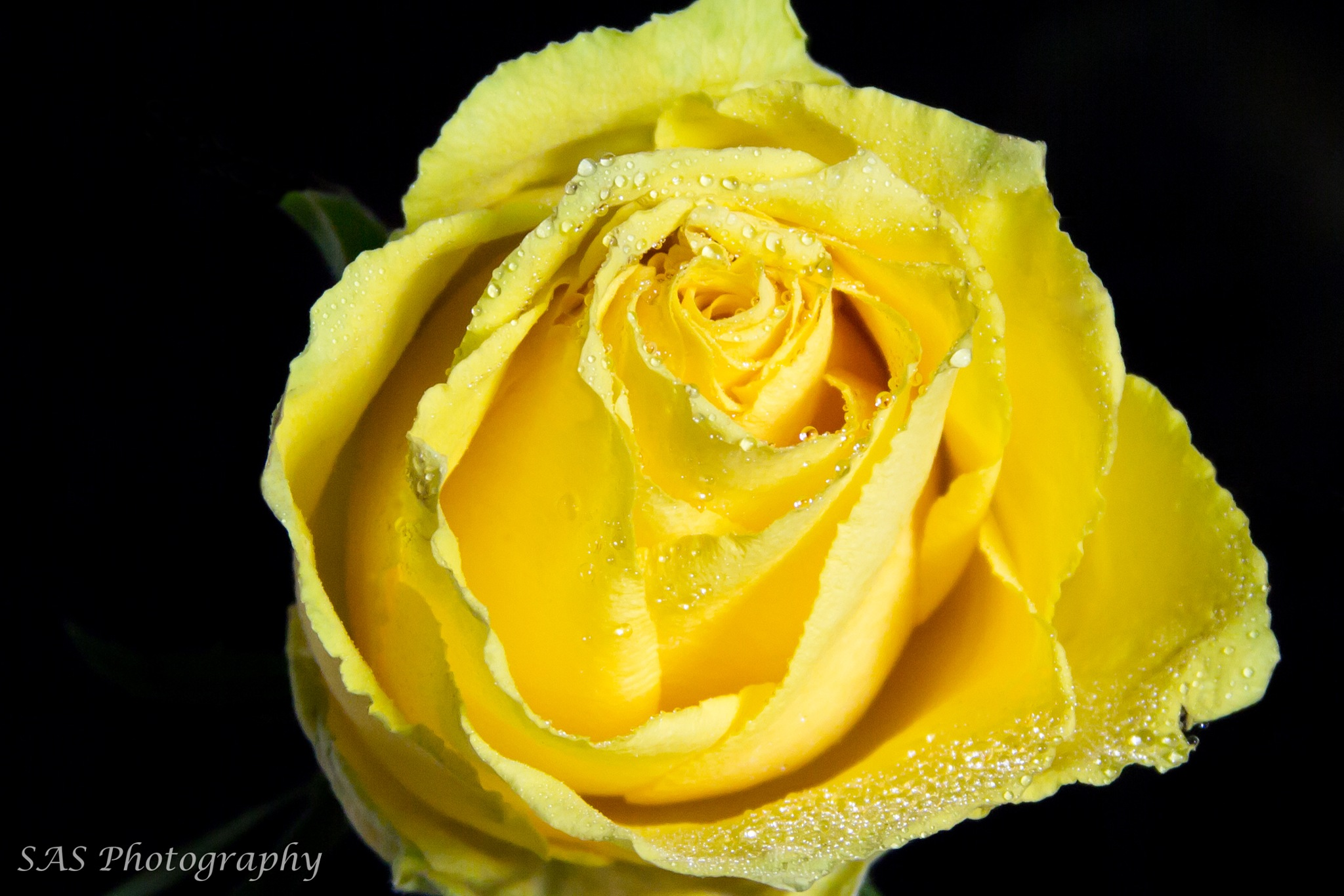 Yellow Rose by Sue Summers