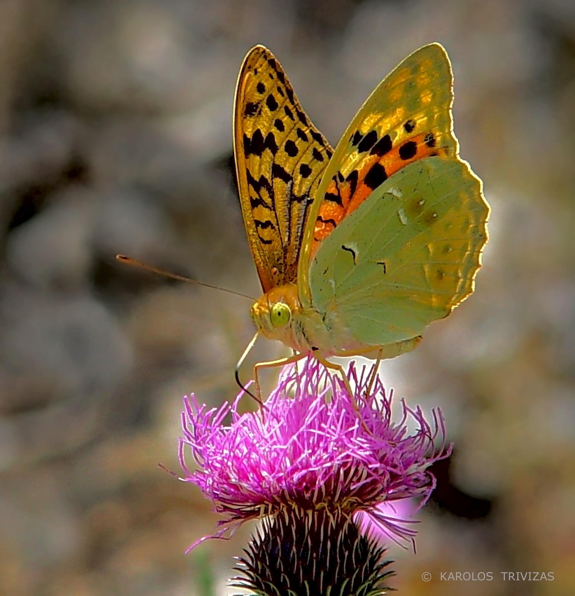 LYCAENA ON THORN FLOWER  (GREECE, MACEDONIA, DRAMA, PARANESTI, STRAVOREMA) by KAROLOS TRIVIZAS