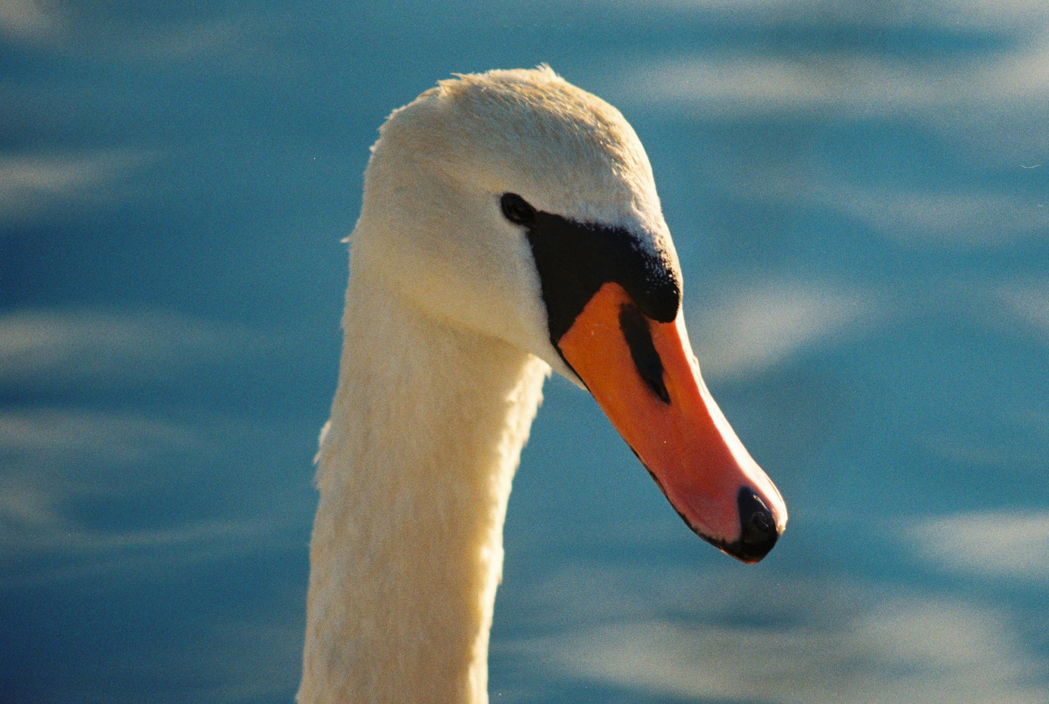 Swan II by Horn