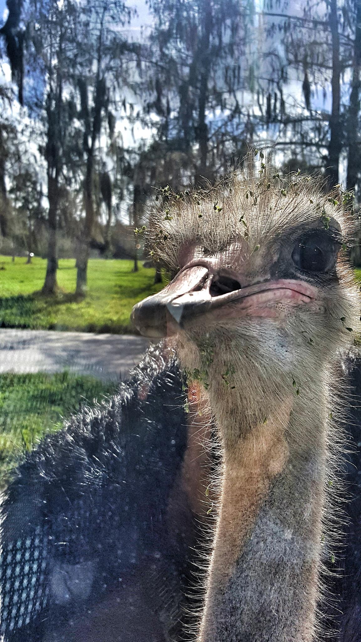 ostrich by Ladymar