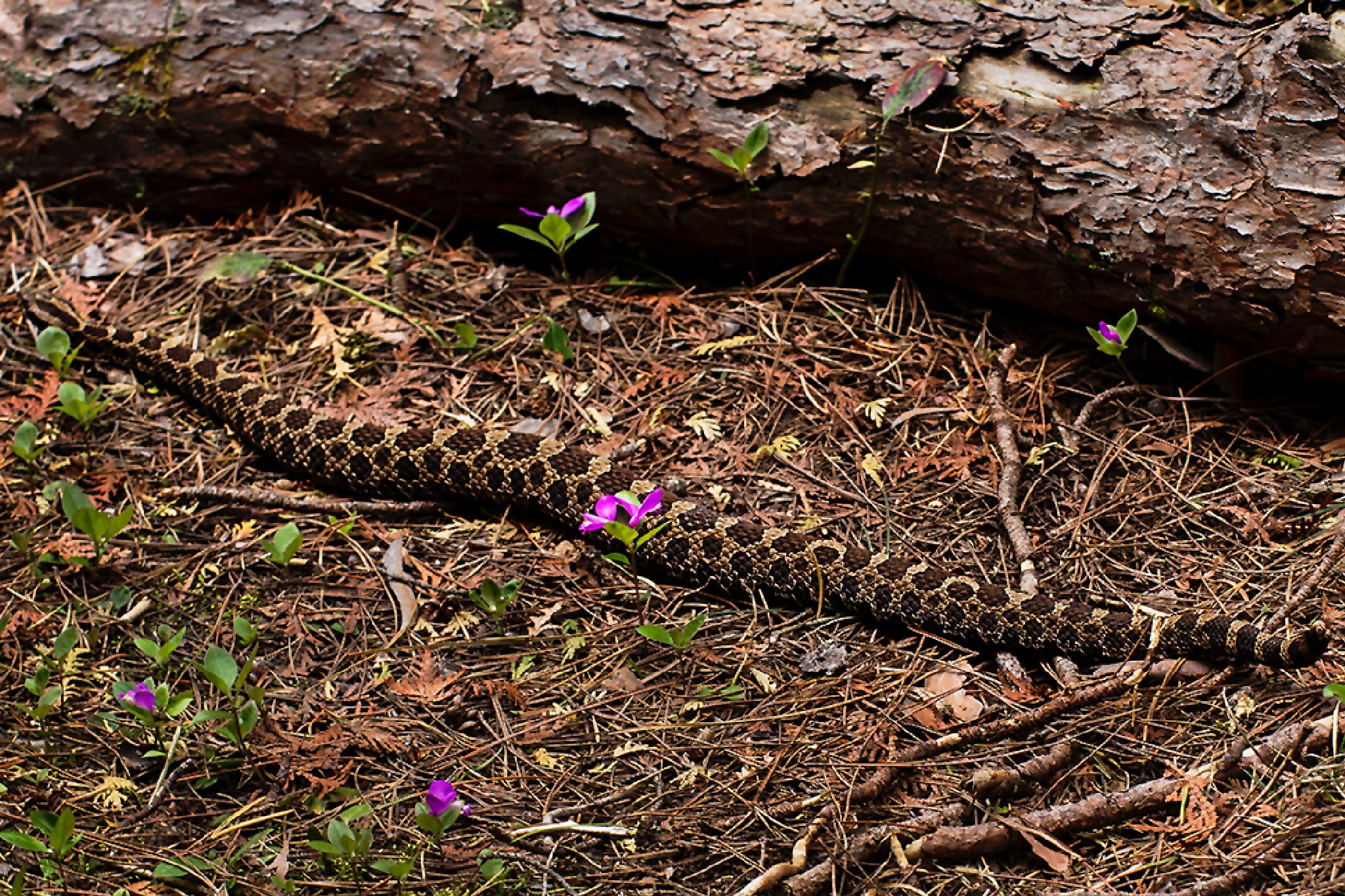 Watch Your Step/Eastern Massasauga Rattlesnake by scottiesphotoworks