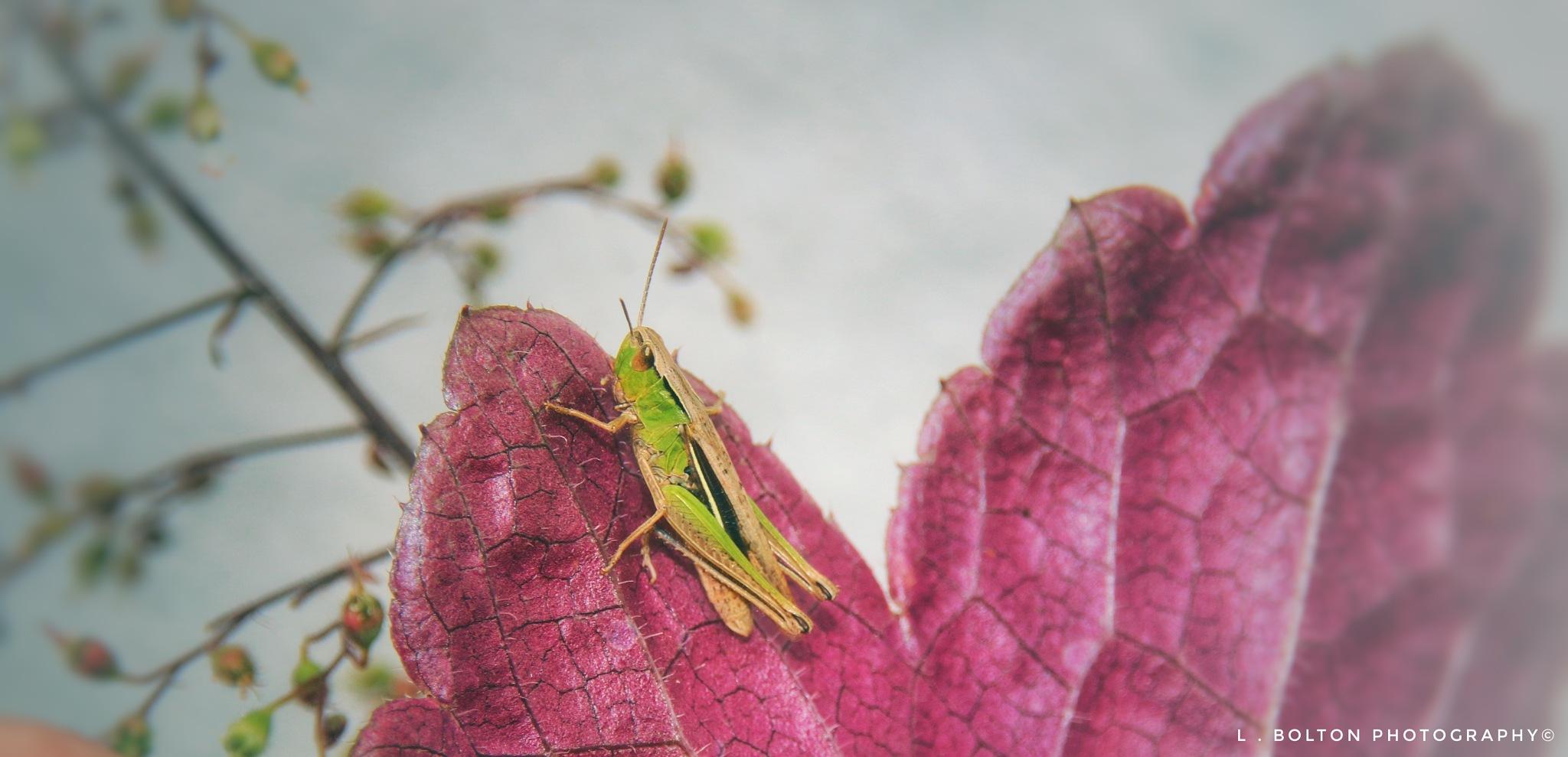 Grasshopper  by Lynnette Bolton