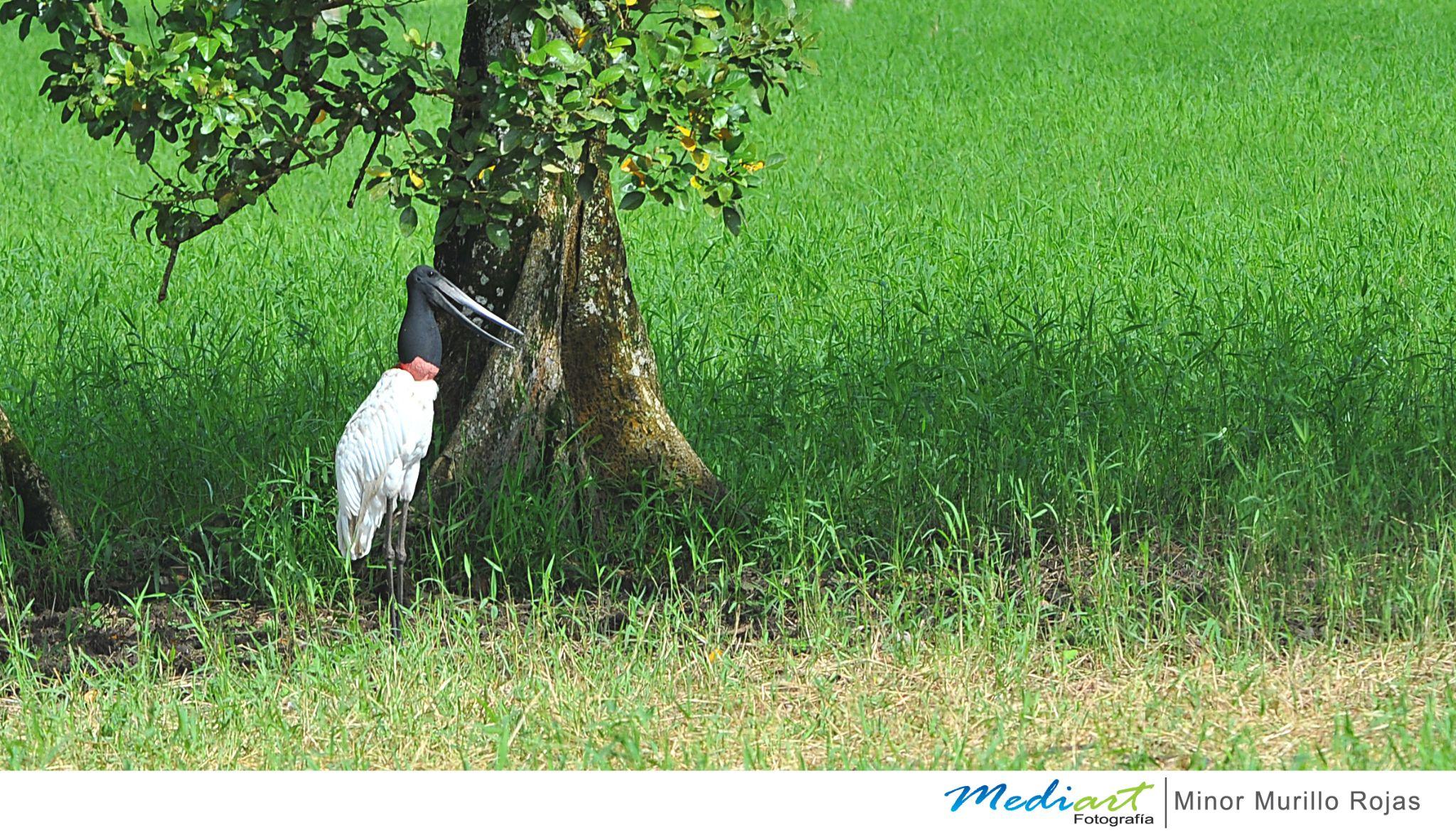Jabiru mycteria by Mediart Photography