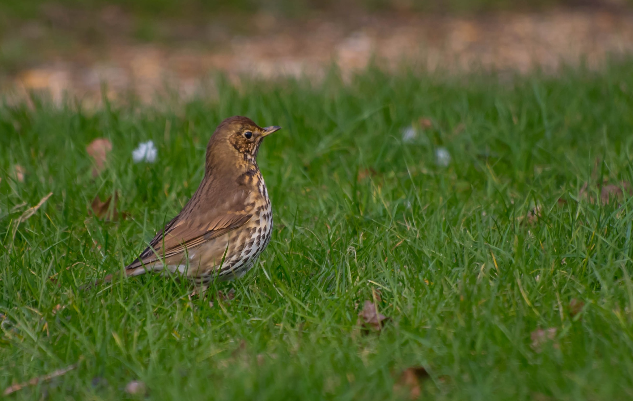 Song Thrush by thechariotsandover