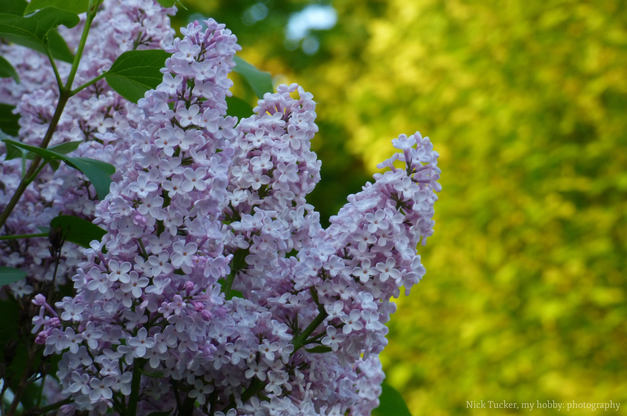 lilac by Nick Tucker