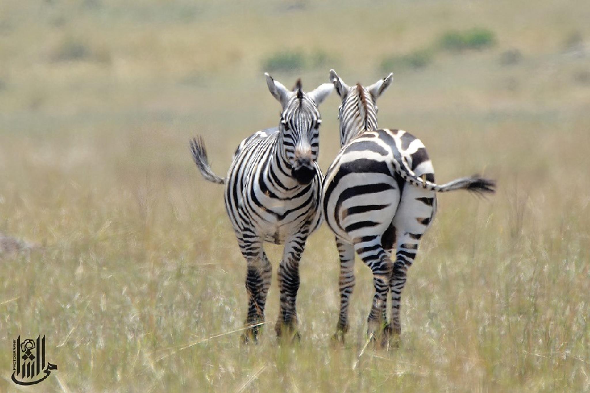 Burchell's zebra by Mahmoud Elshamy