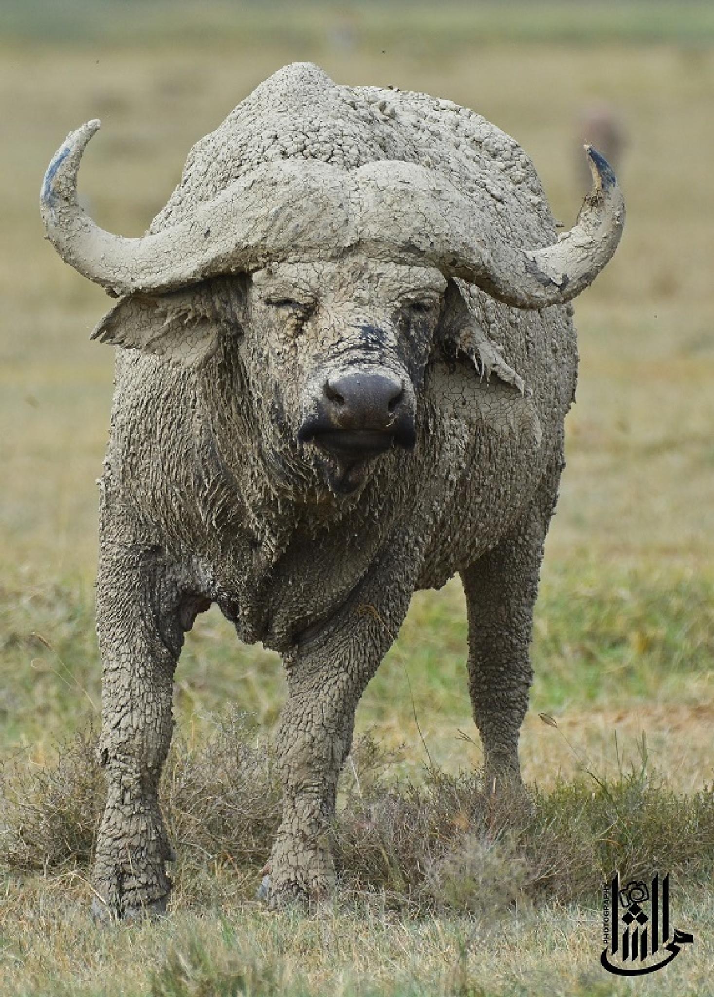 African buffalo - mud bath  by Mahmoud Elshamy