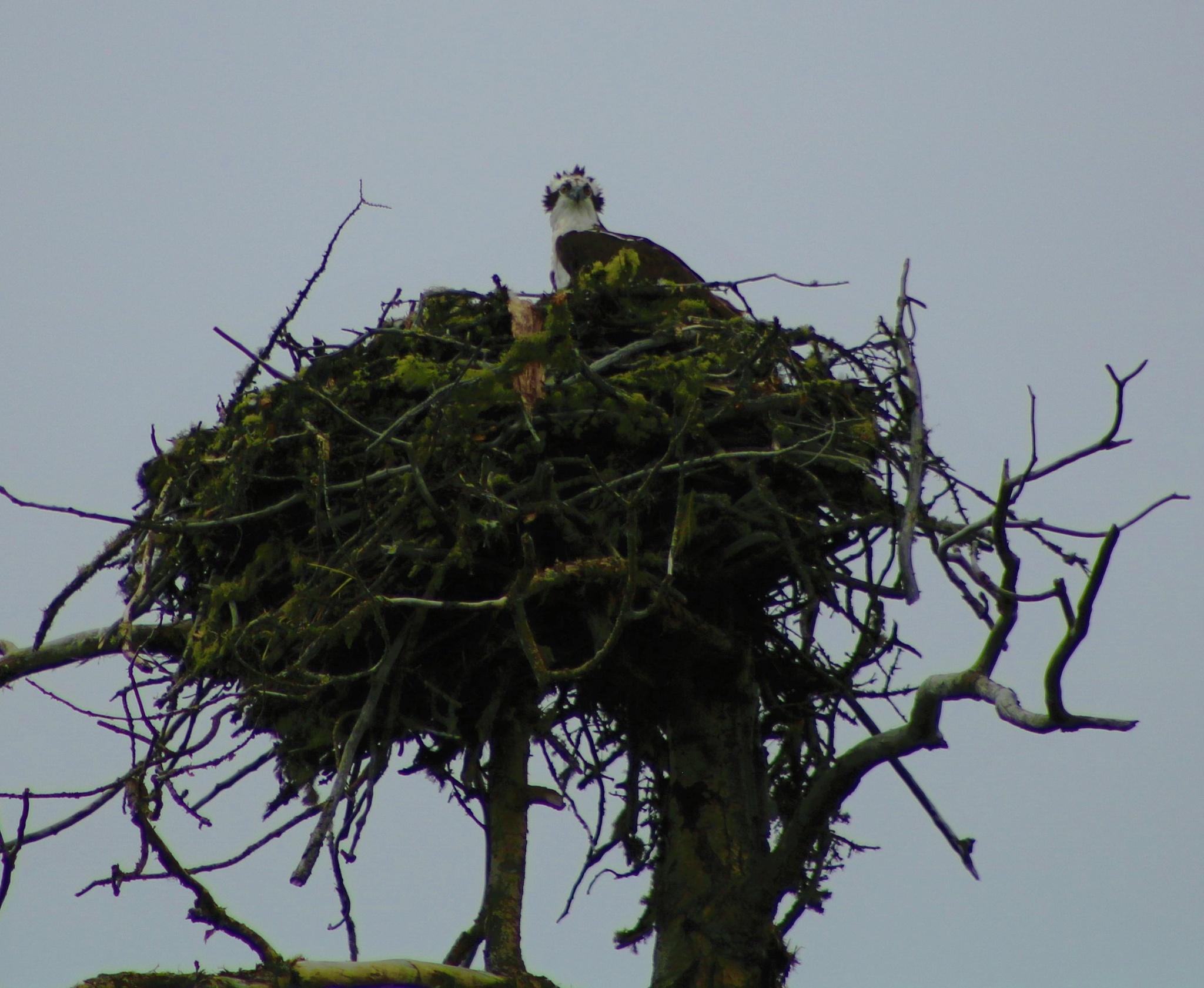 Osprey by Connie Kerik Holloway