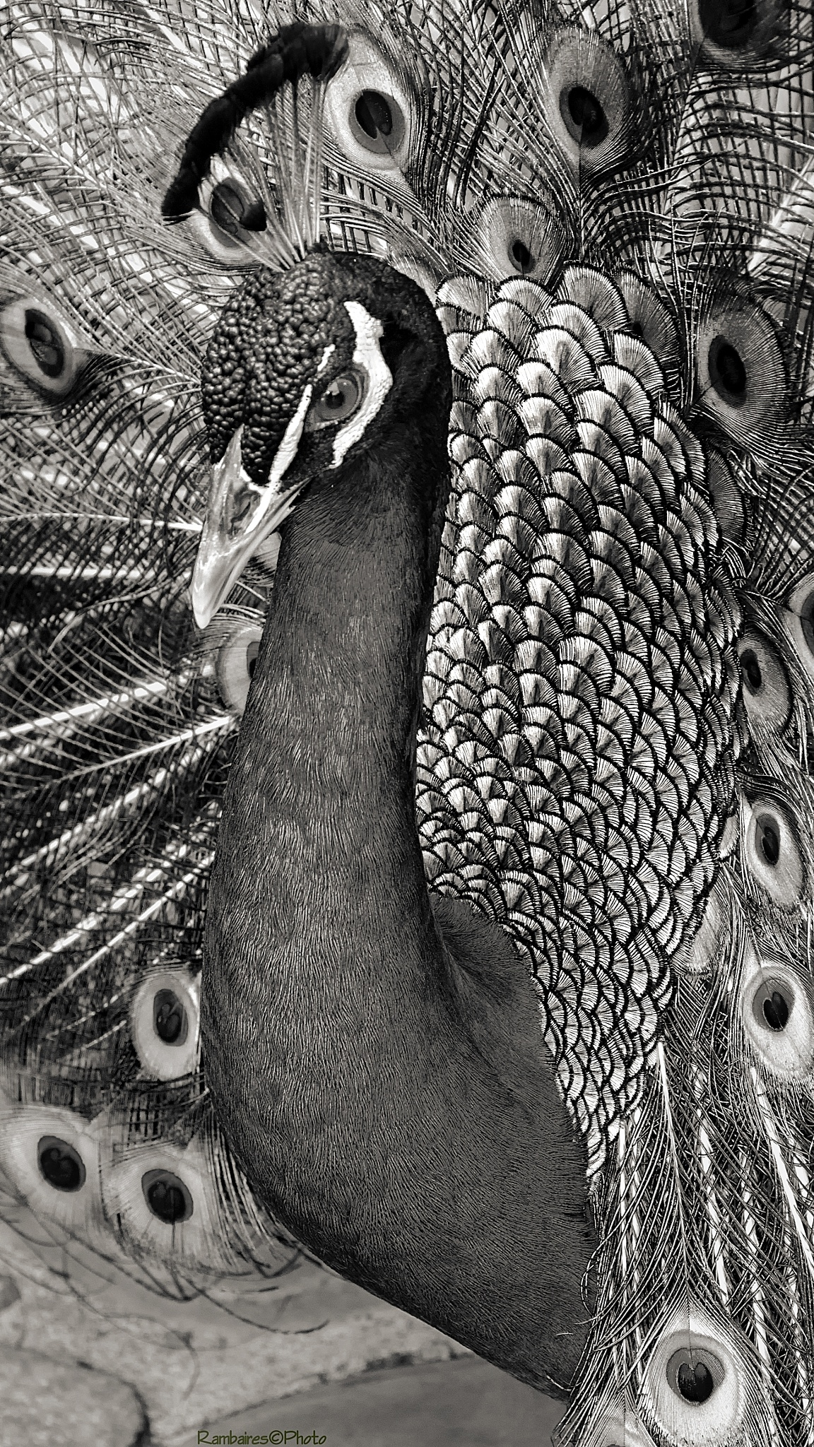 Pavo Real by Rambaires