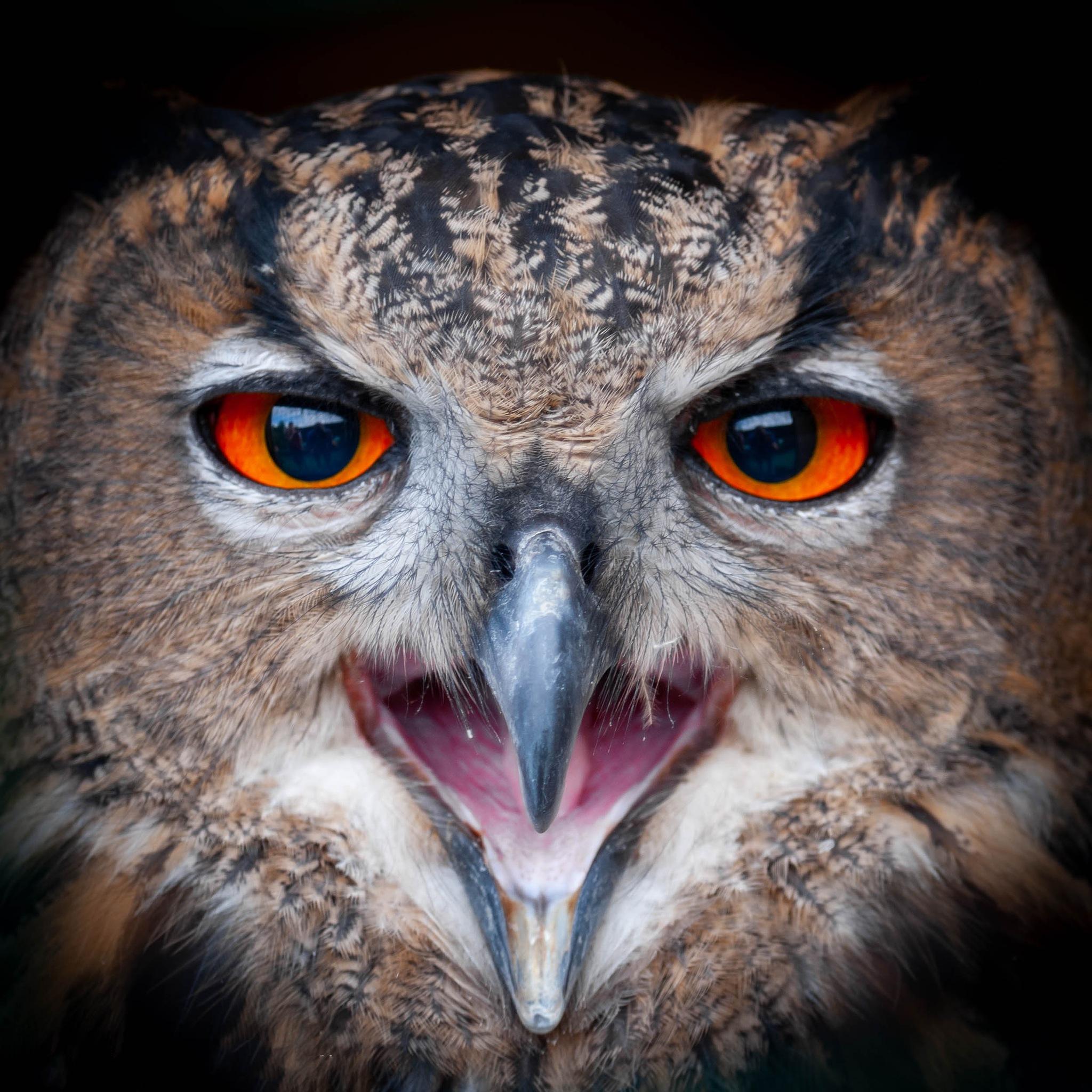 European Eagle Owl - Portrait close up by PaulsImaging