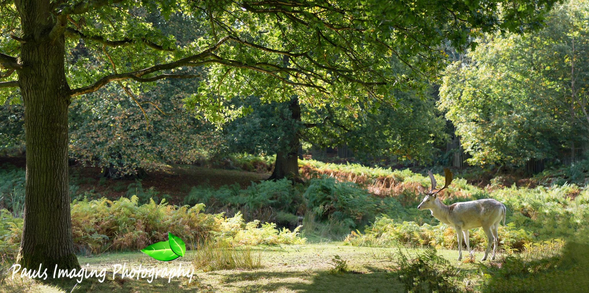 Autumn deer at Dunham Massey by PaulsImaging