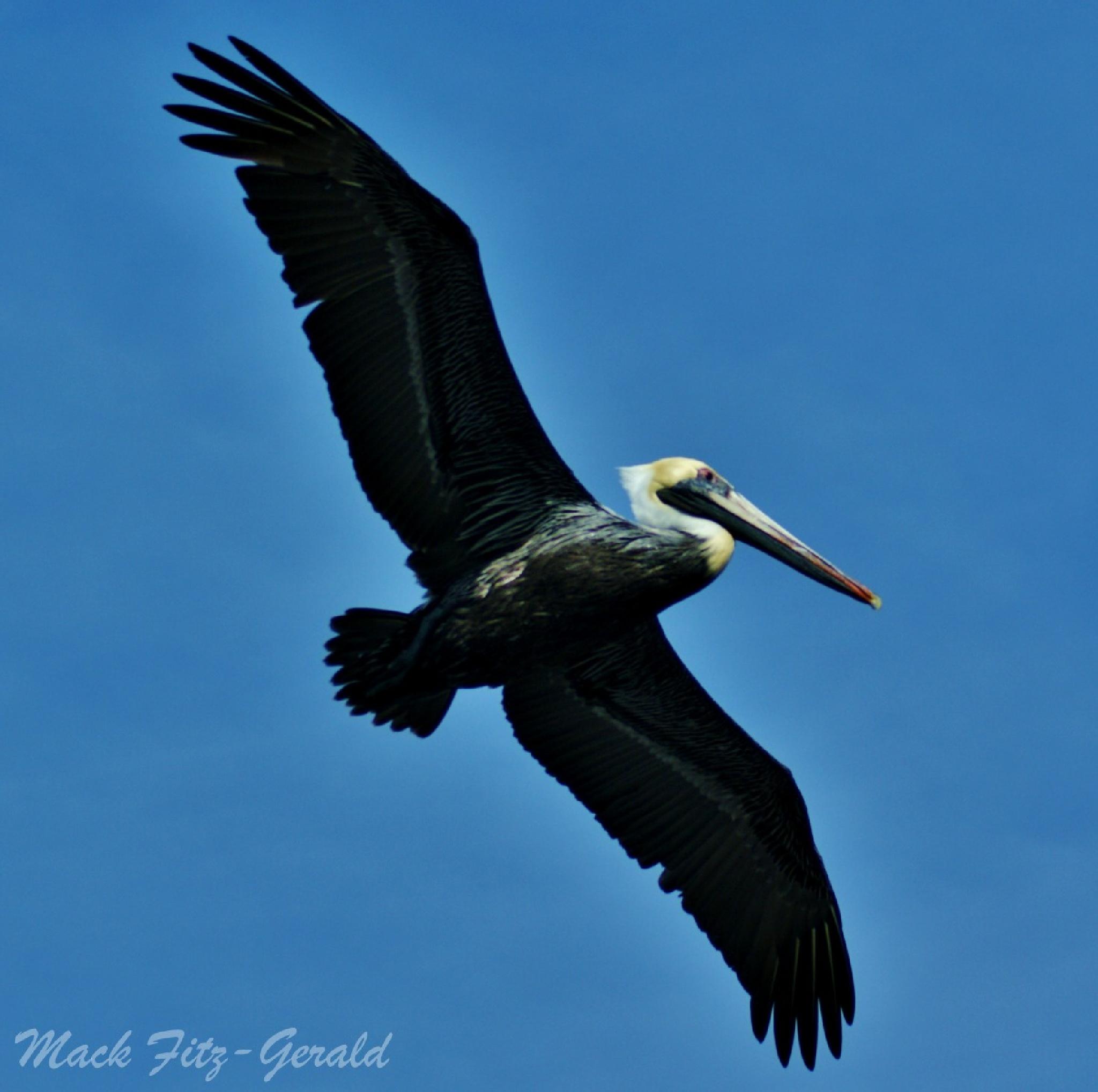 Pelican Flight by Mack Fitz-Gerald