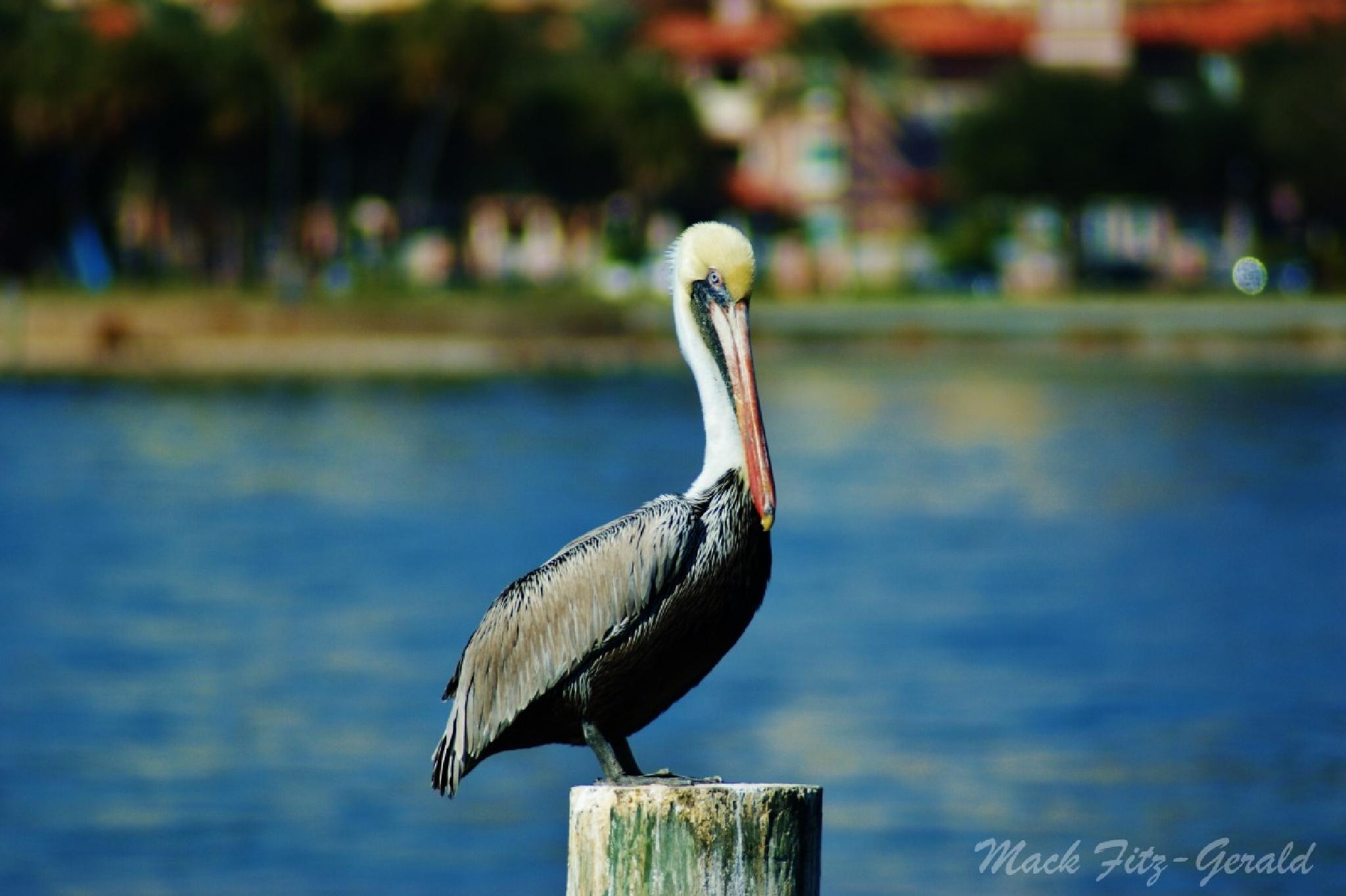 Pelican Pose by Mack Fitz-Gerald