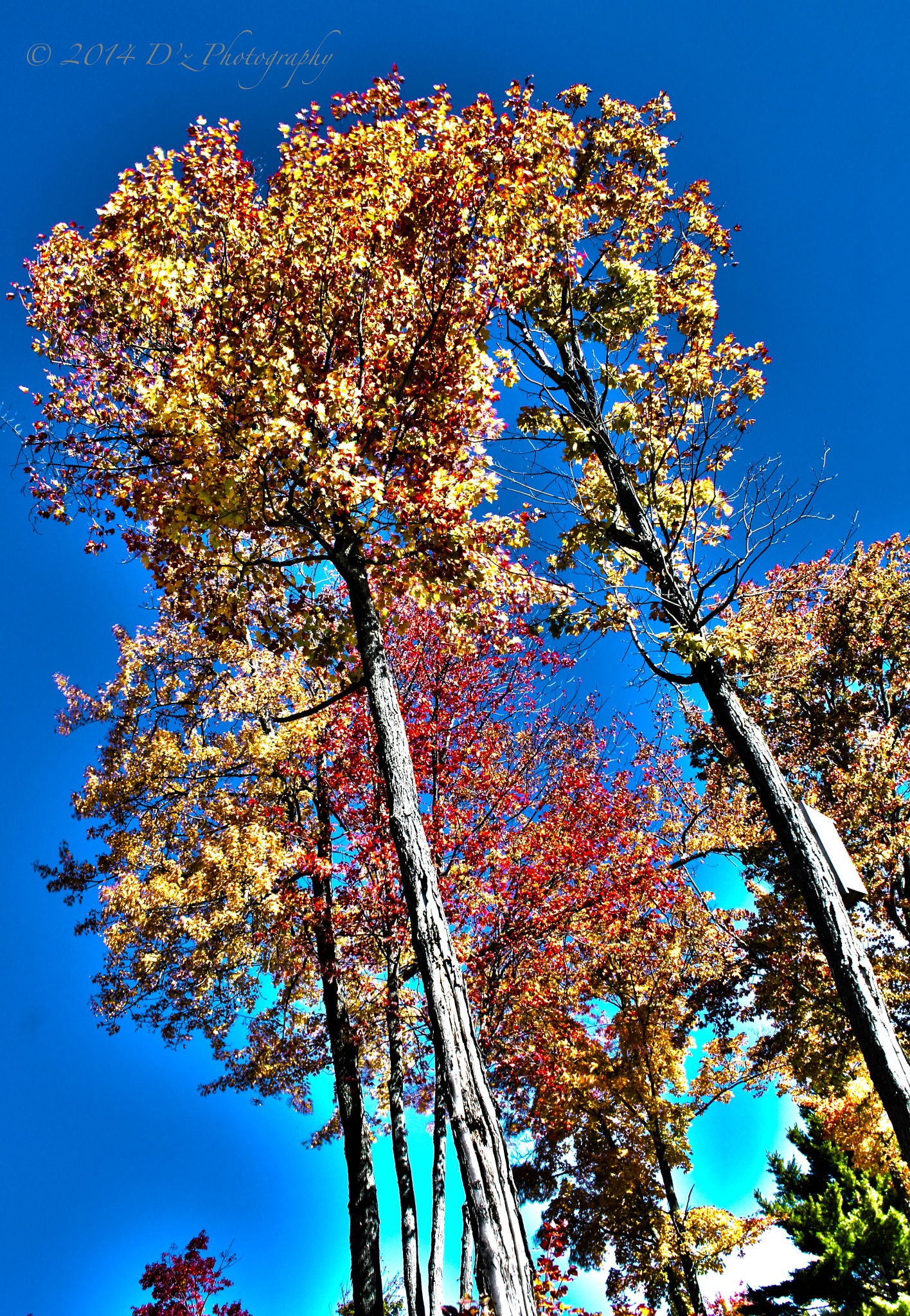 Fall Trees by Dz_Photography