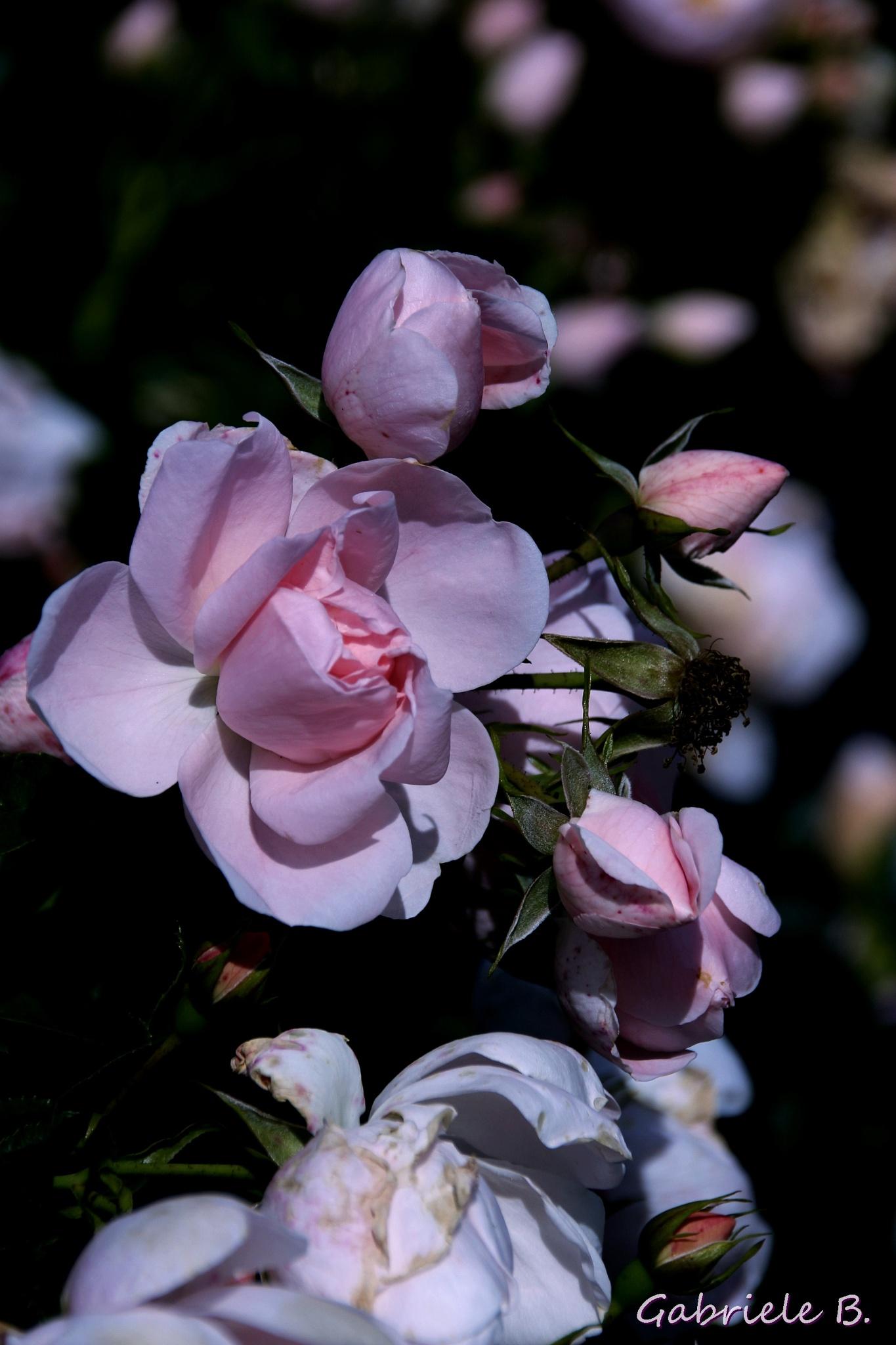 Last roses by gabrielehelenebittner