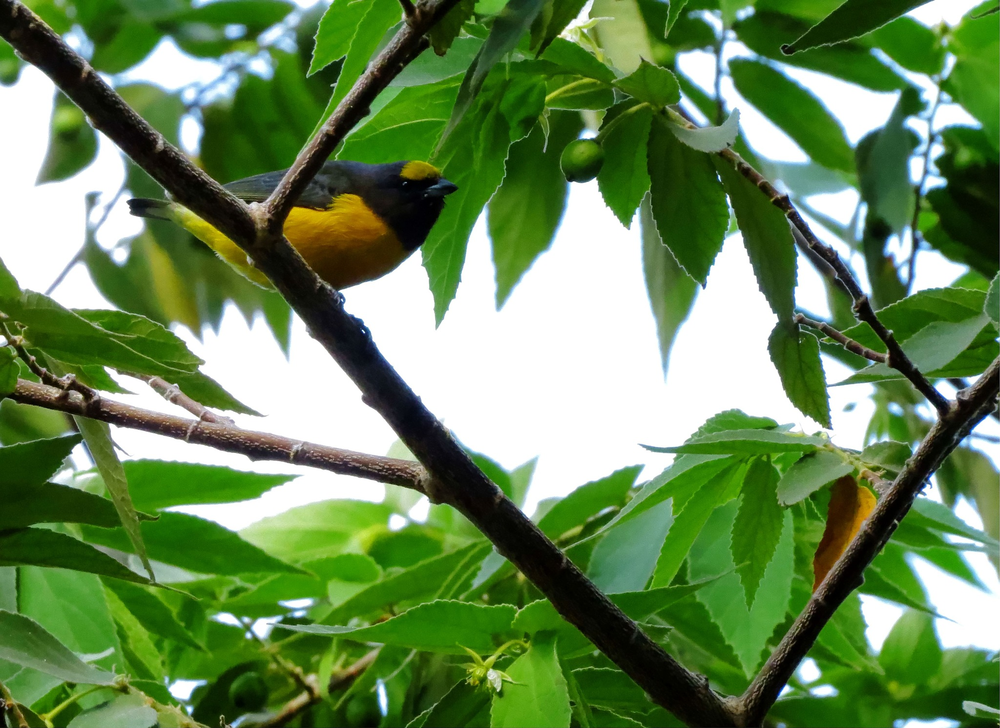 The purple-throated euphonia (Euphonia chlorotica) Fim-fim by Robson Barros Torres