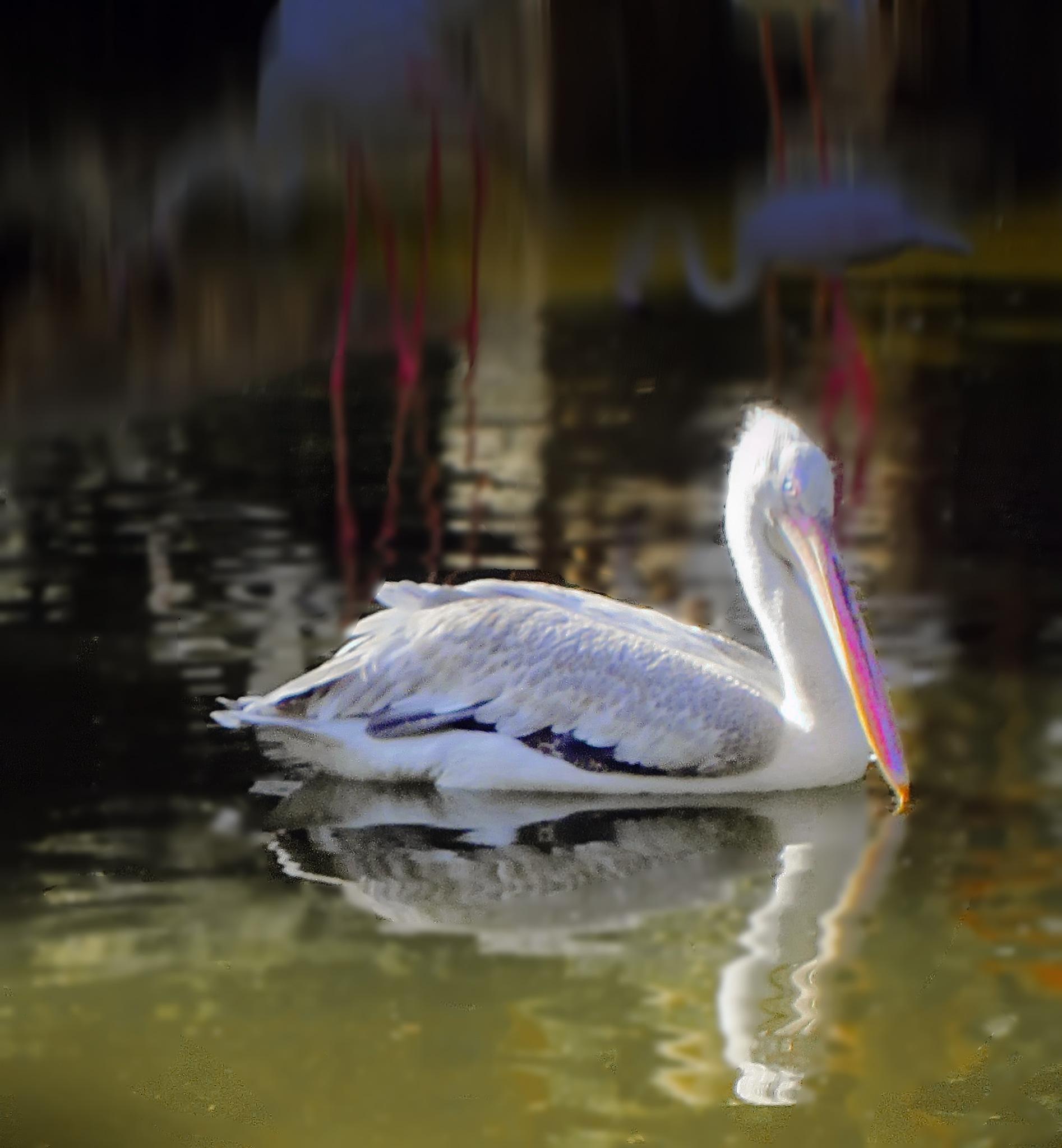 Pelican by kate1480