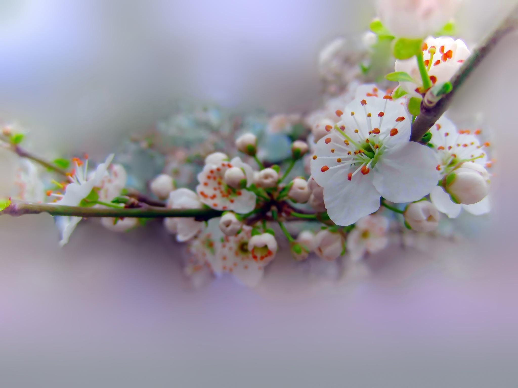 blossom by kate1480