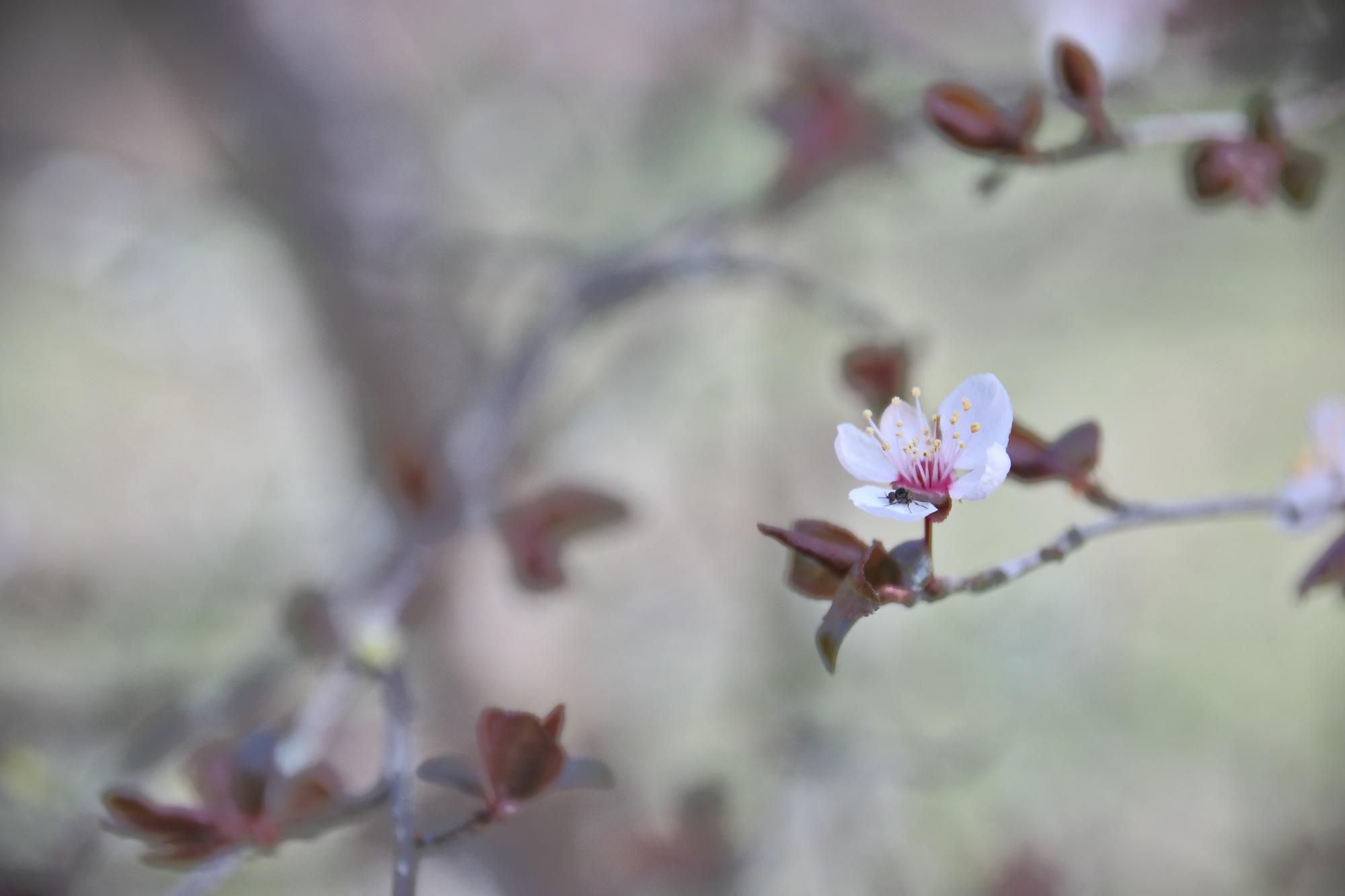 Flowers of plum trees by Marie Kri