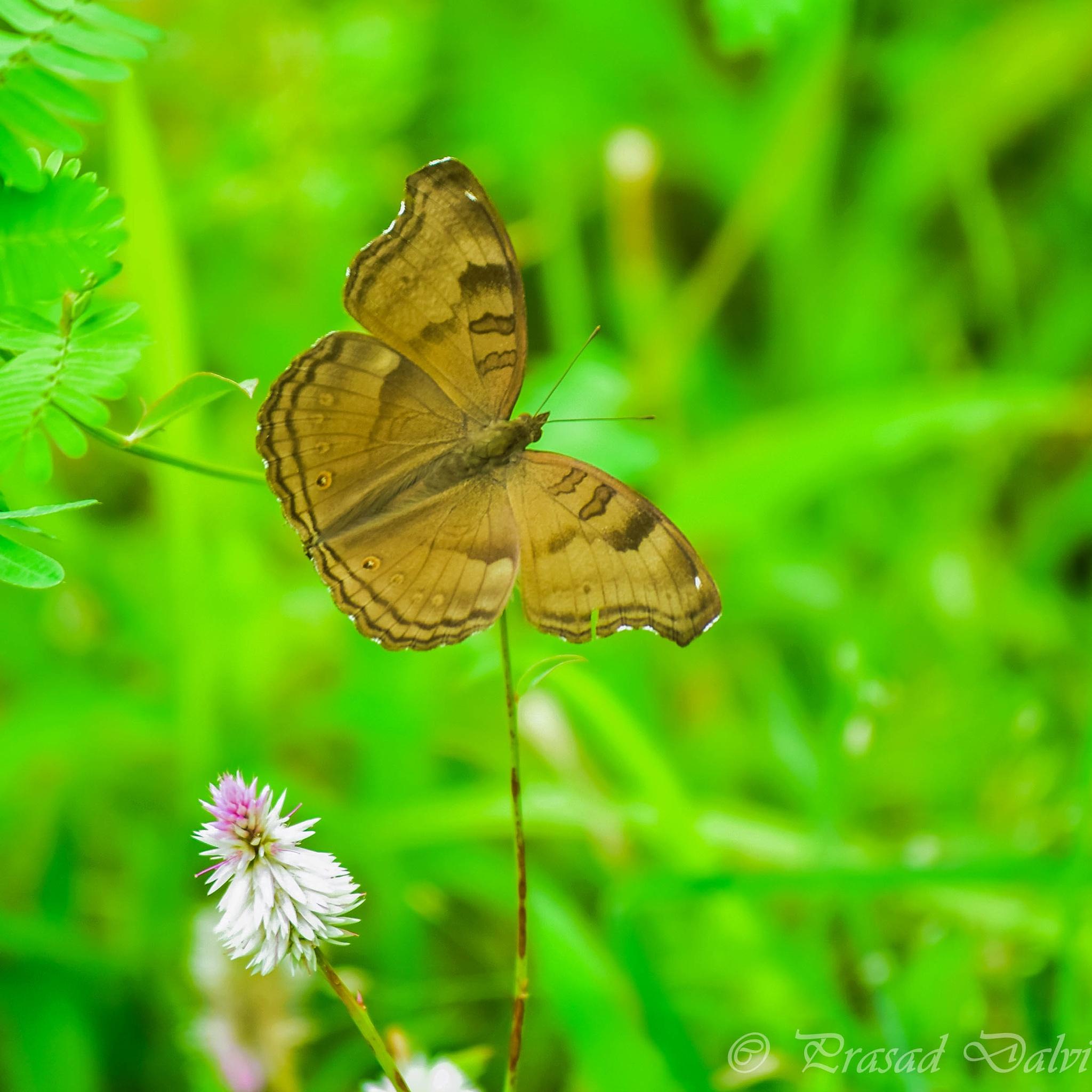 Butterfly by Prasad Dalvi